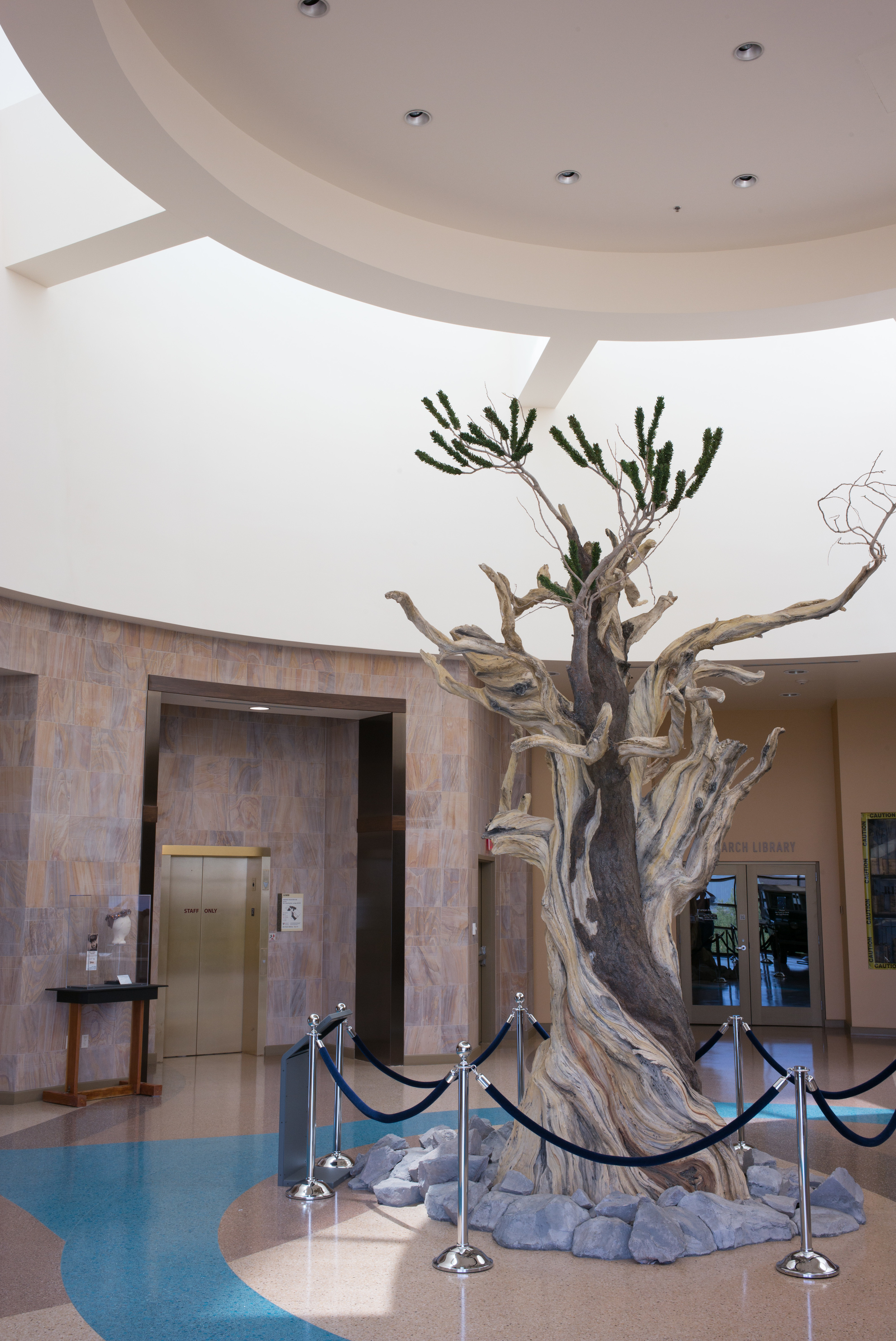 A bristlecone pine greets visitors entering the museum.