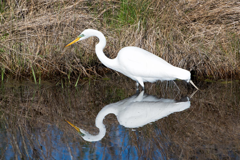 Snowy Egret, Assateague Island