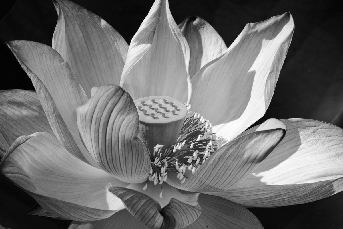 Kenilworth Lotus, Art on Paper 2010