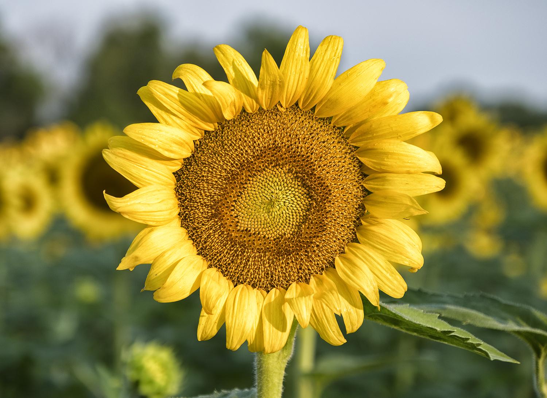 170722 sunflowers 20-1.jpg
