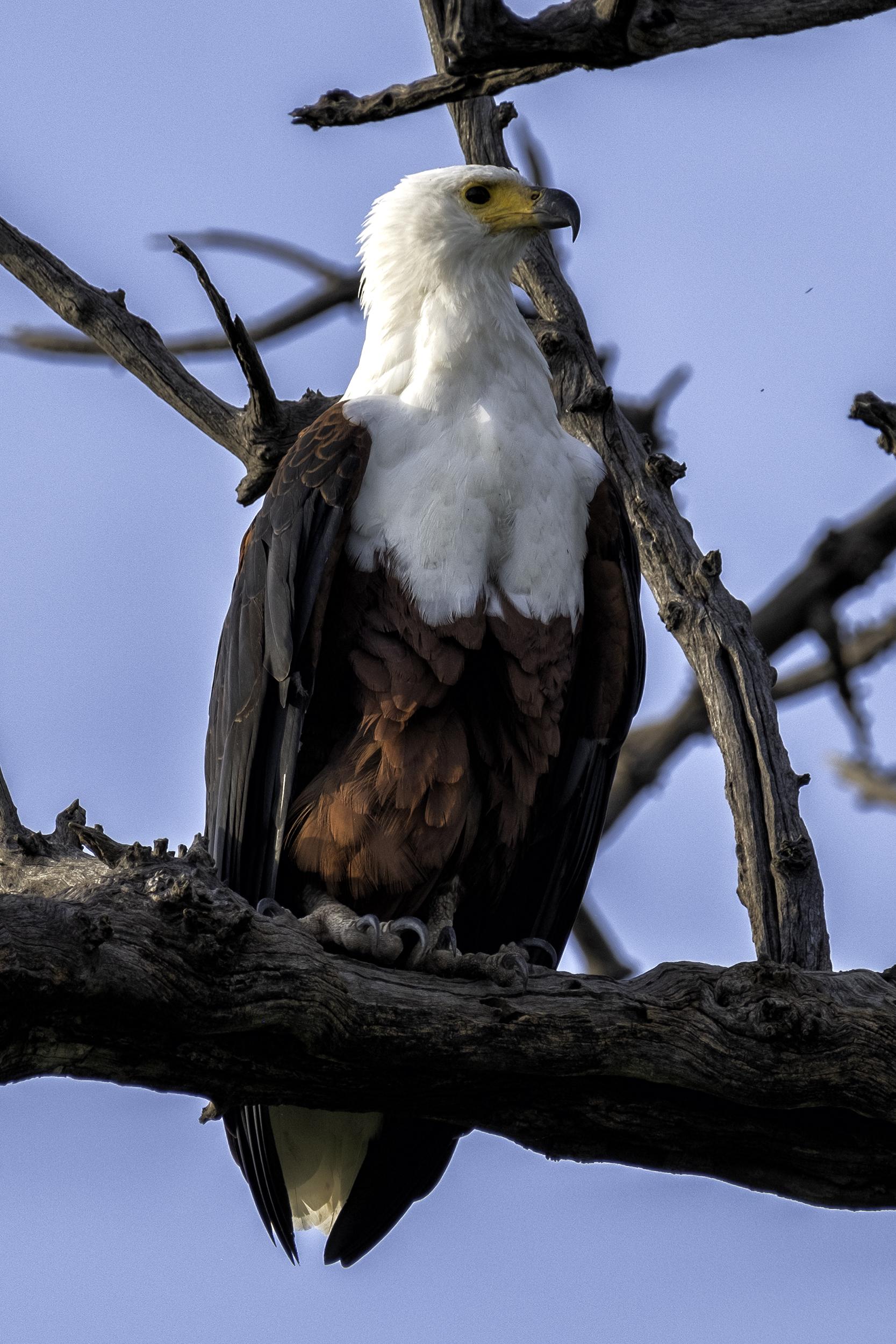Fish Eagle, Chobe Park, Botswana, February Afternoon