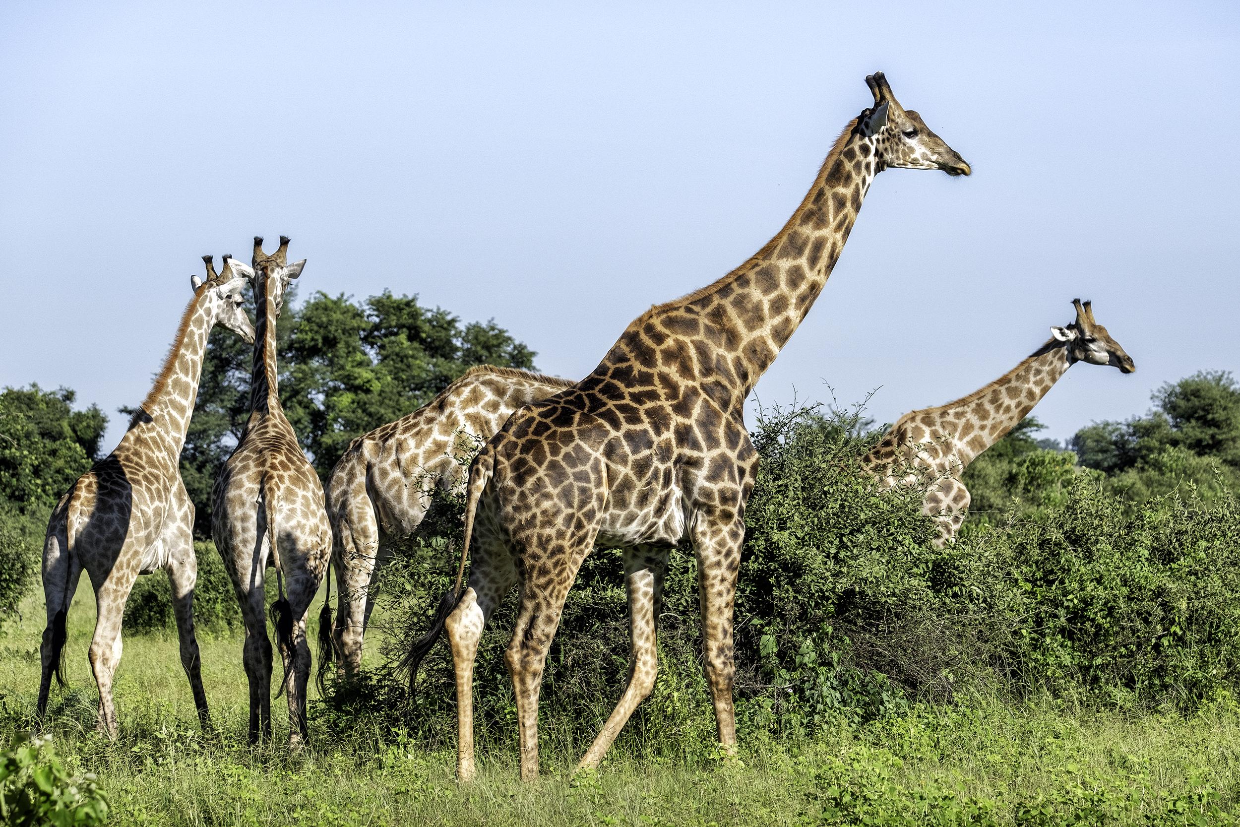 Chobe Park, Botswana, September Morning