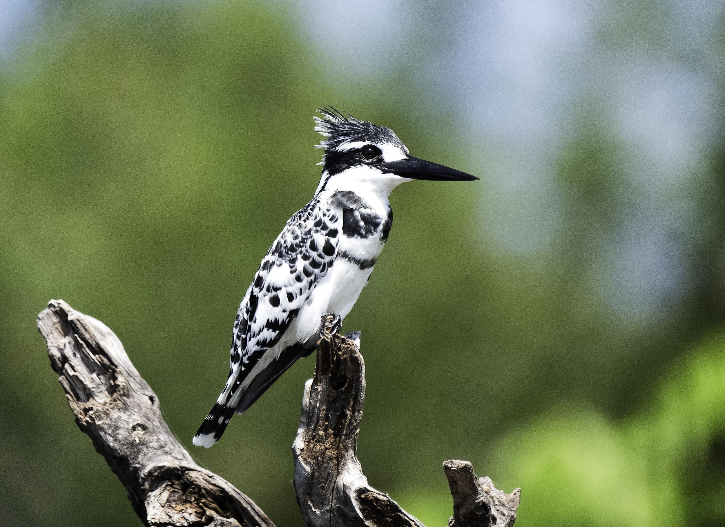 Pied Kingfisher, Chobe Park, Botswana