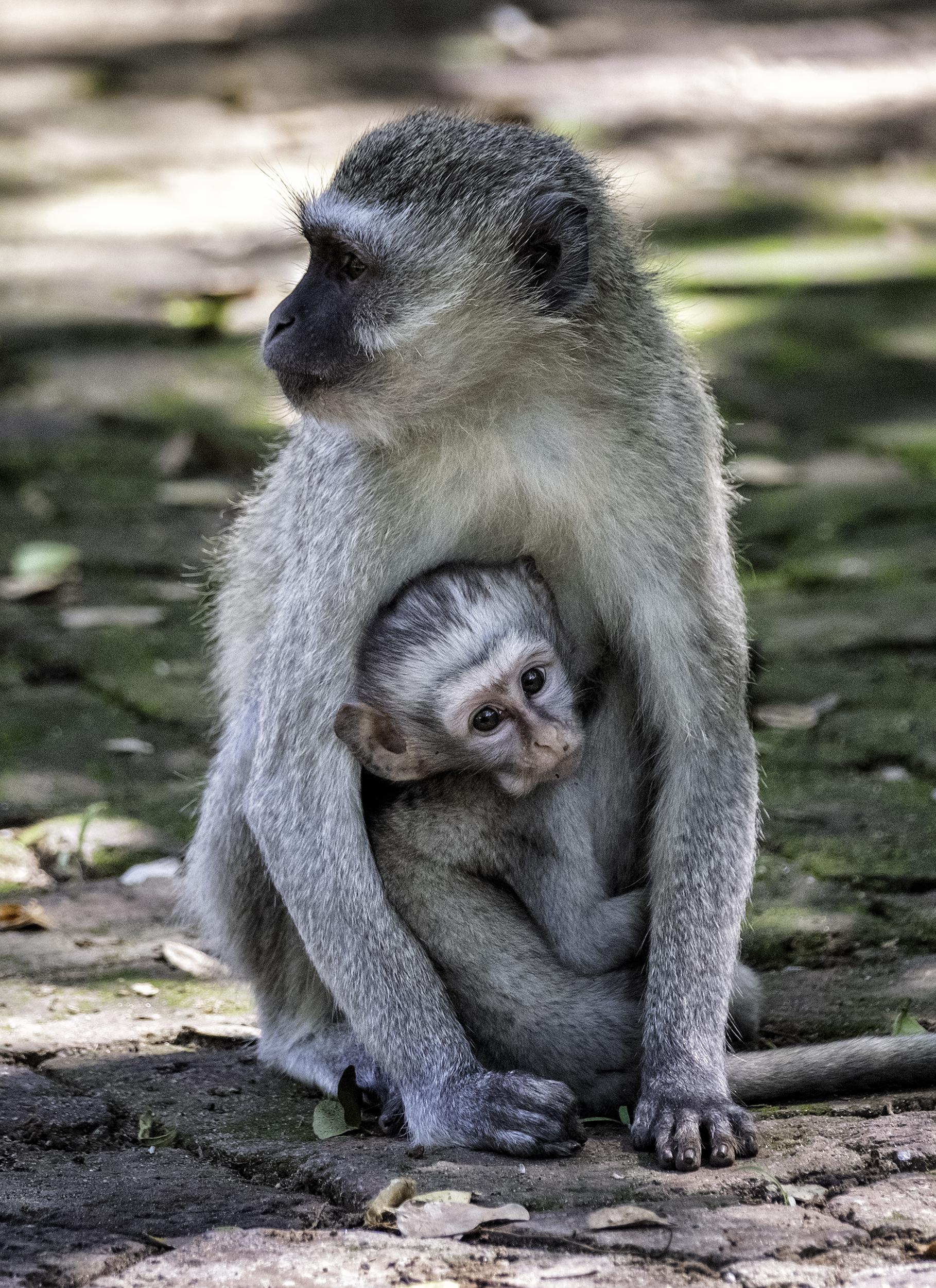 Velvet Monkey, Victoria Falls