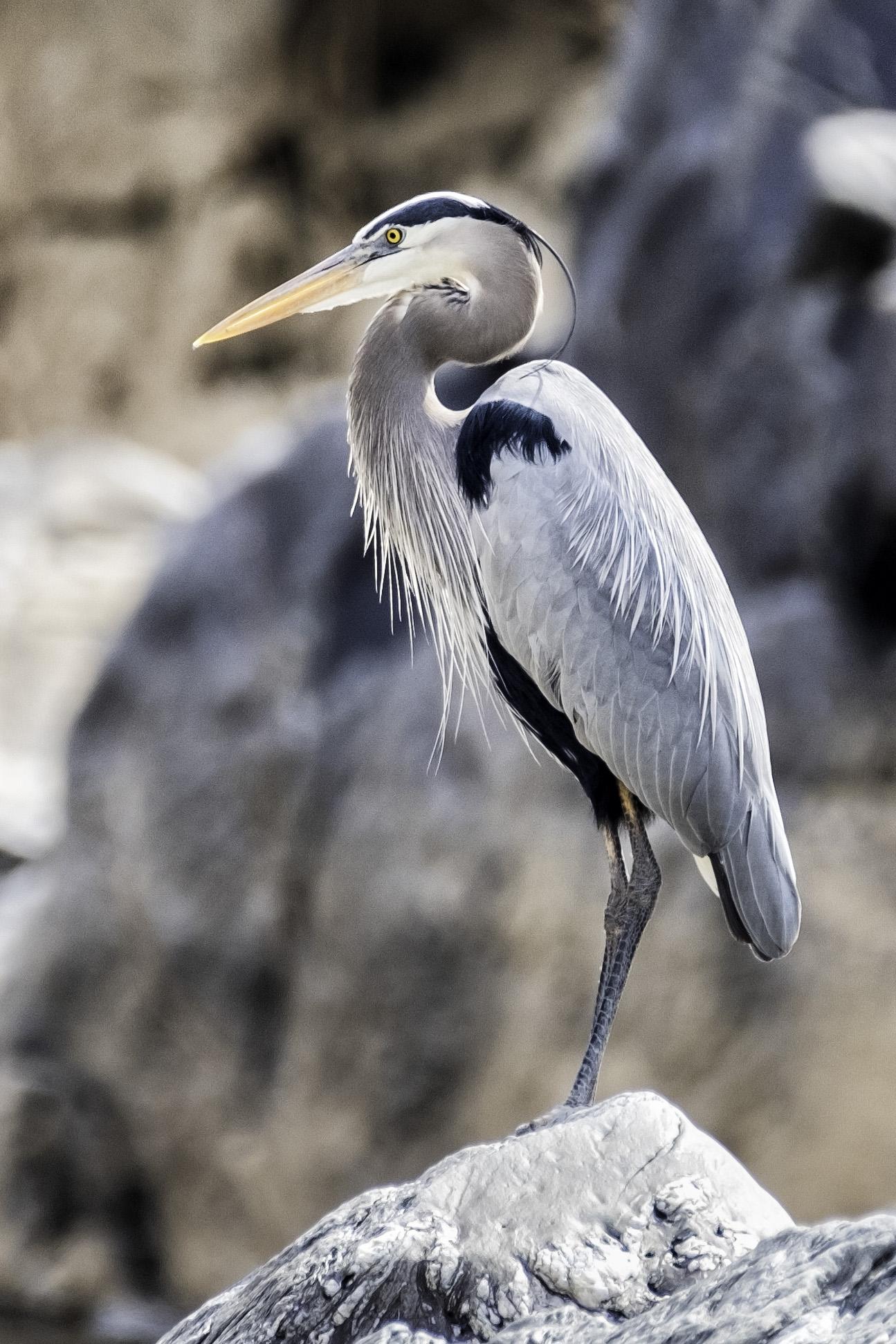 Great Falls Heron