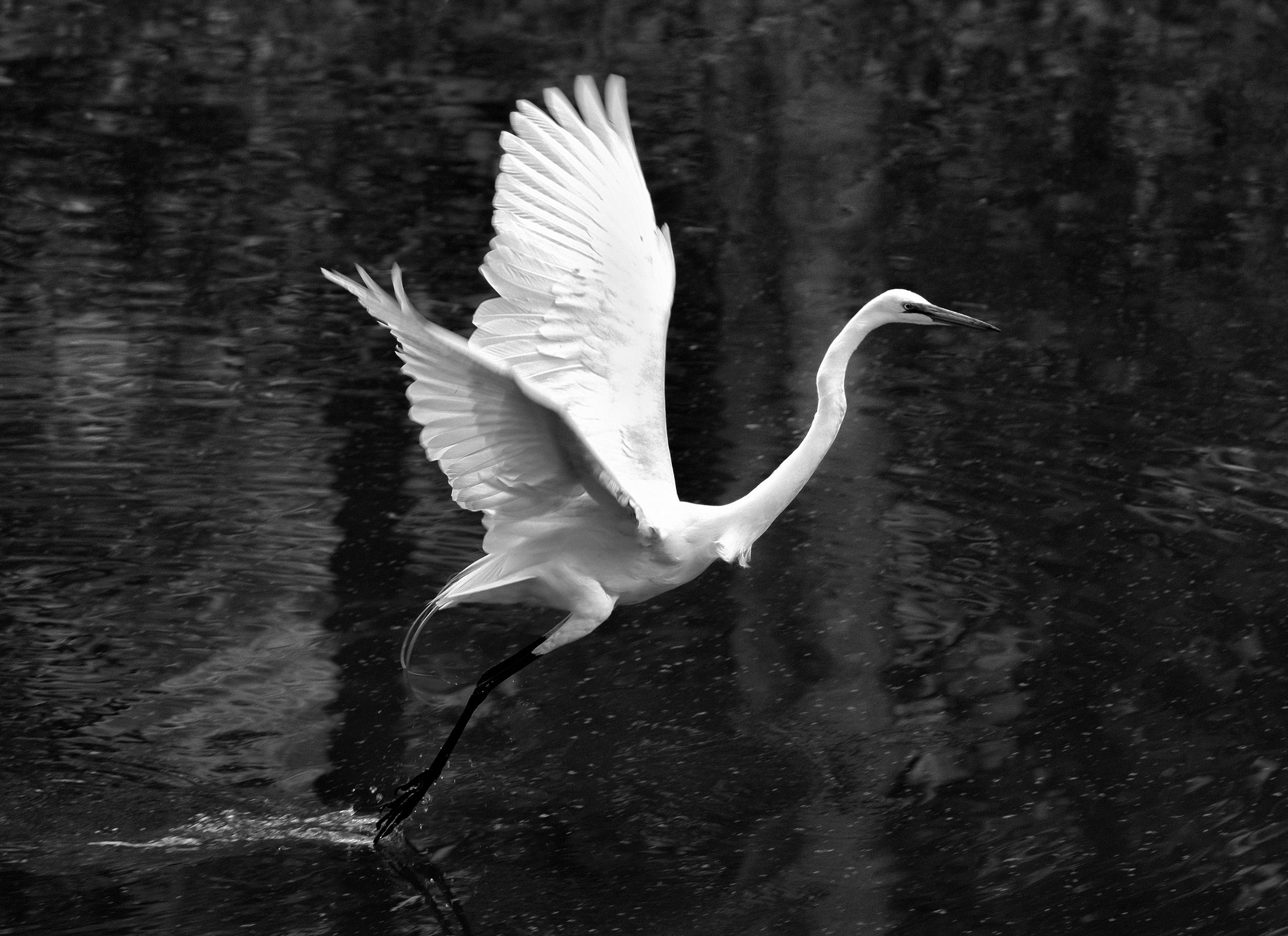190514 XT2 Canal Birds  109-1 bw cln.jpg