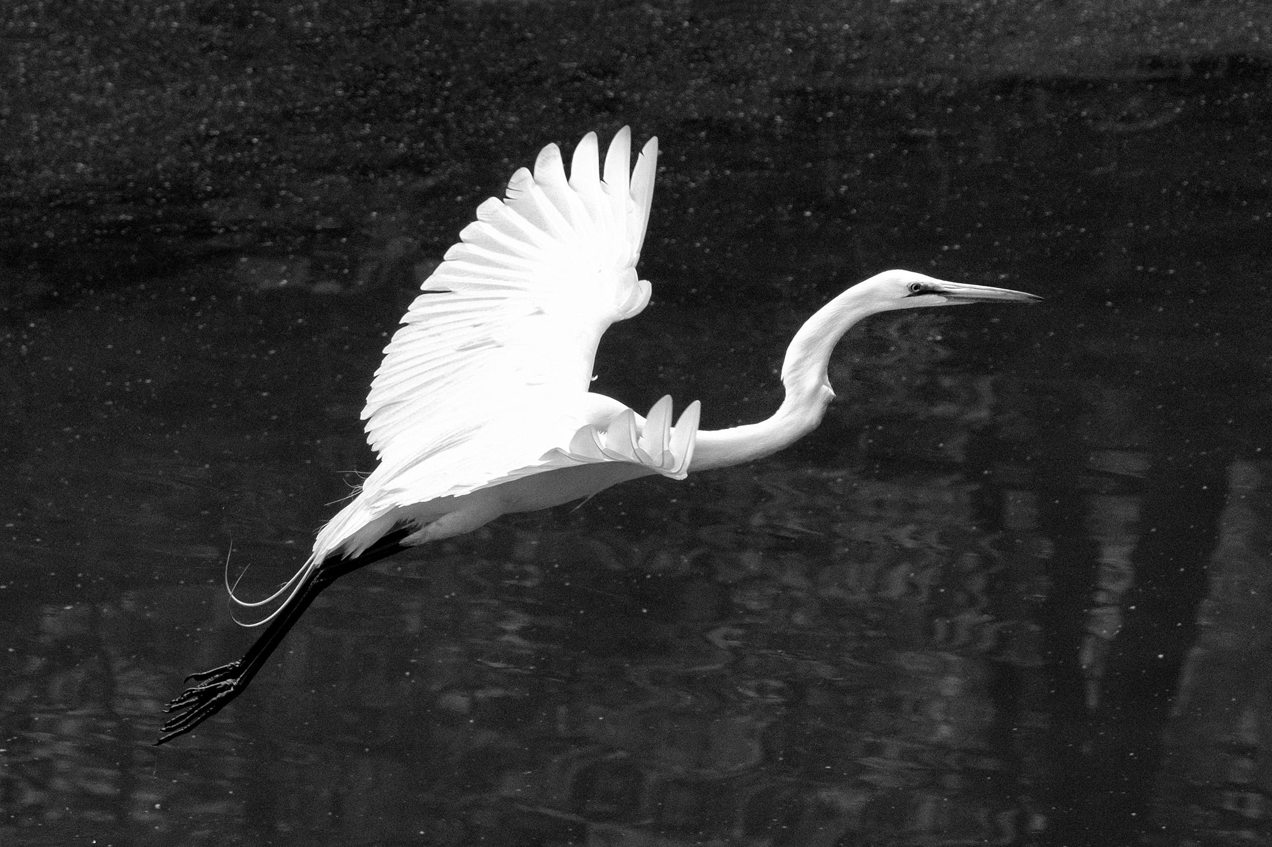 190518 Canal Birds XT2 180-1 cr cln bw.jpg