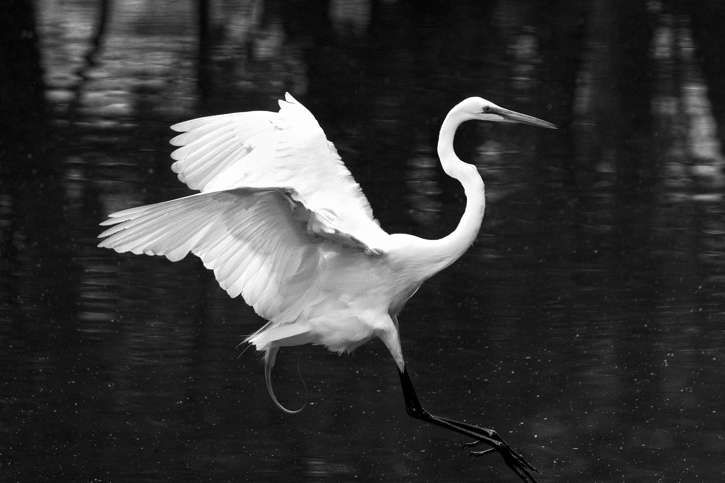 190518 Canal Birds XT2 223-1 bw.jpg