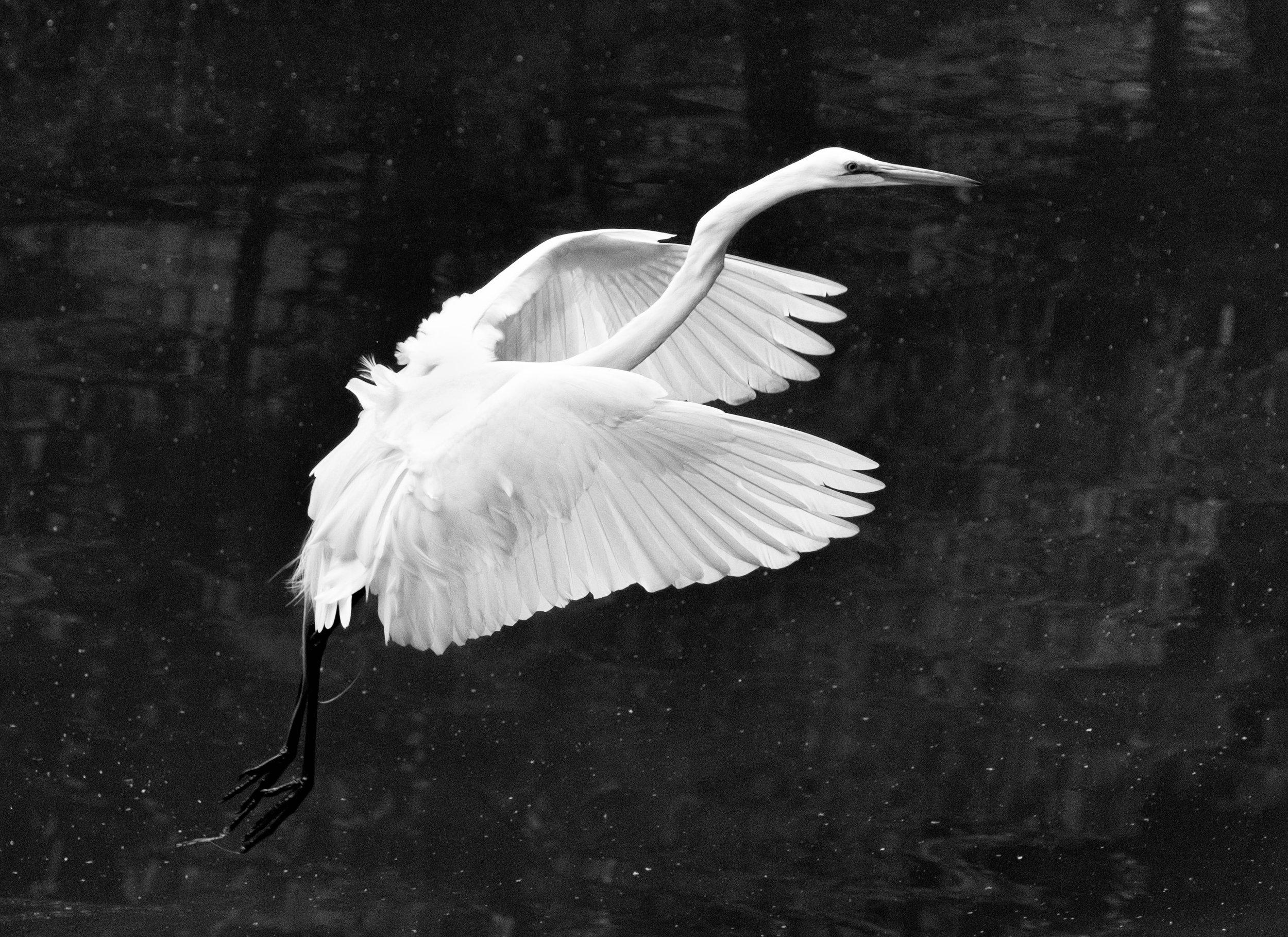 190518 Canal Birds XT2 184-1 bw.jpg