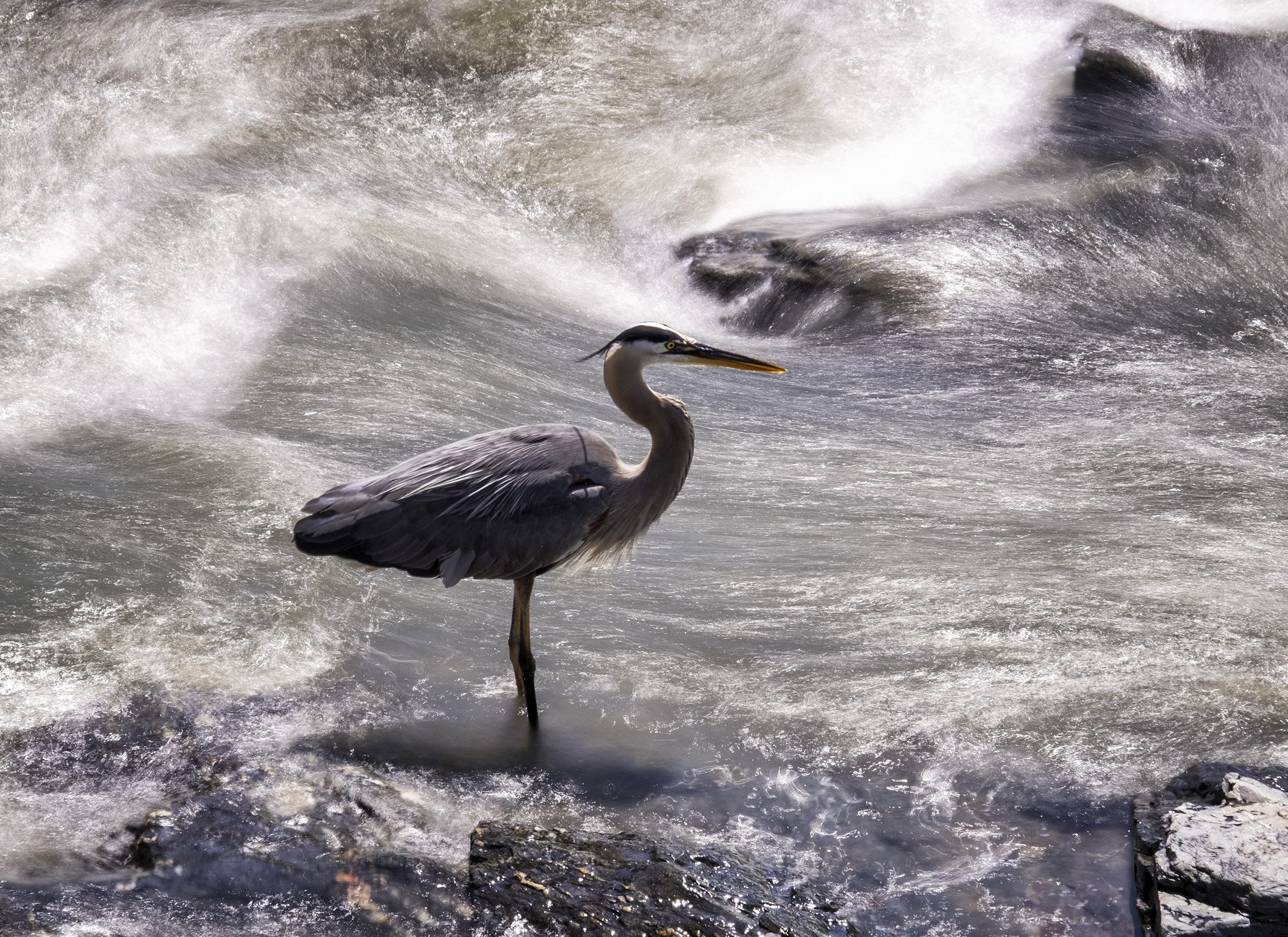 190521 Great Falls Heron 101-1.jpg