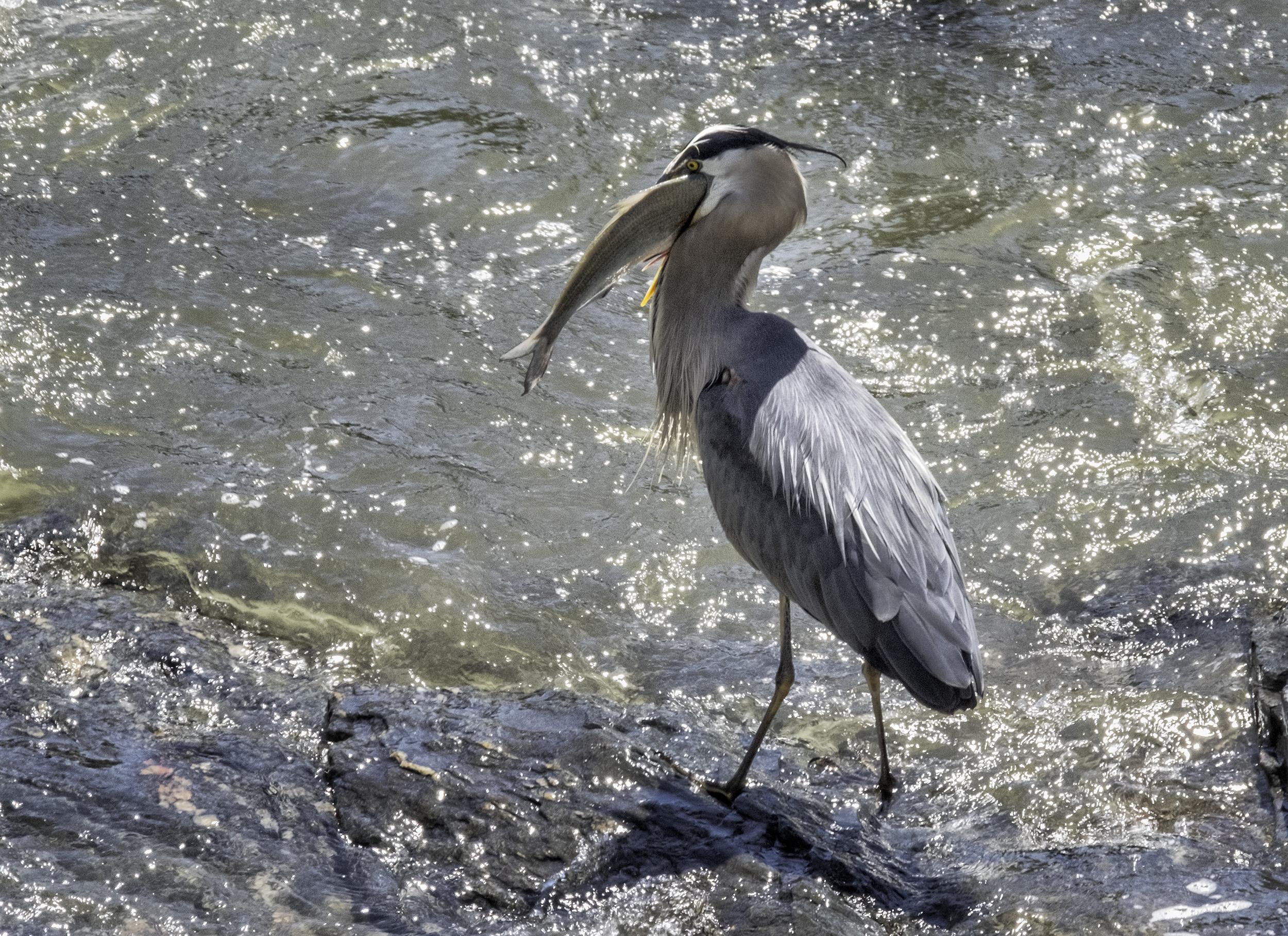 190521 Great Falls Heron 091-1.jpg