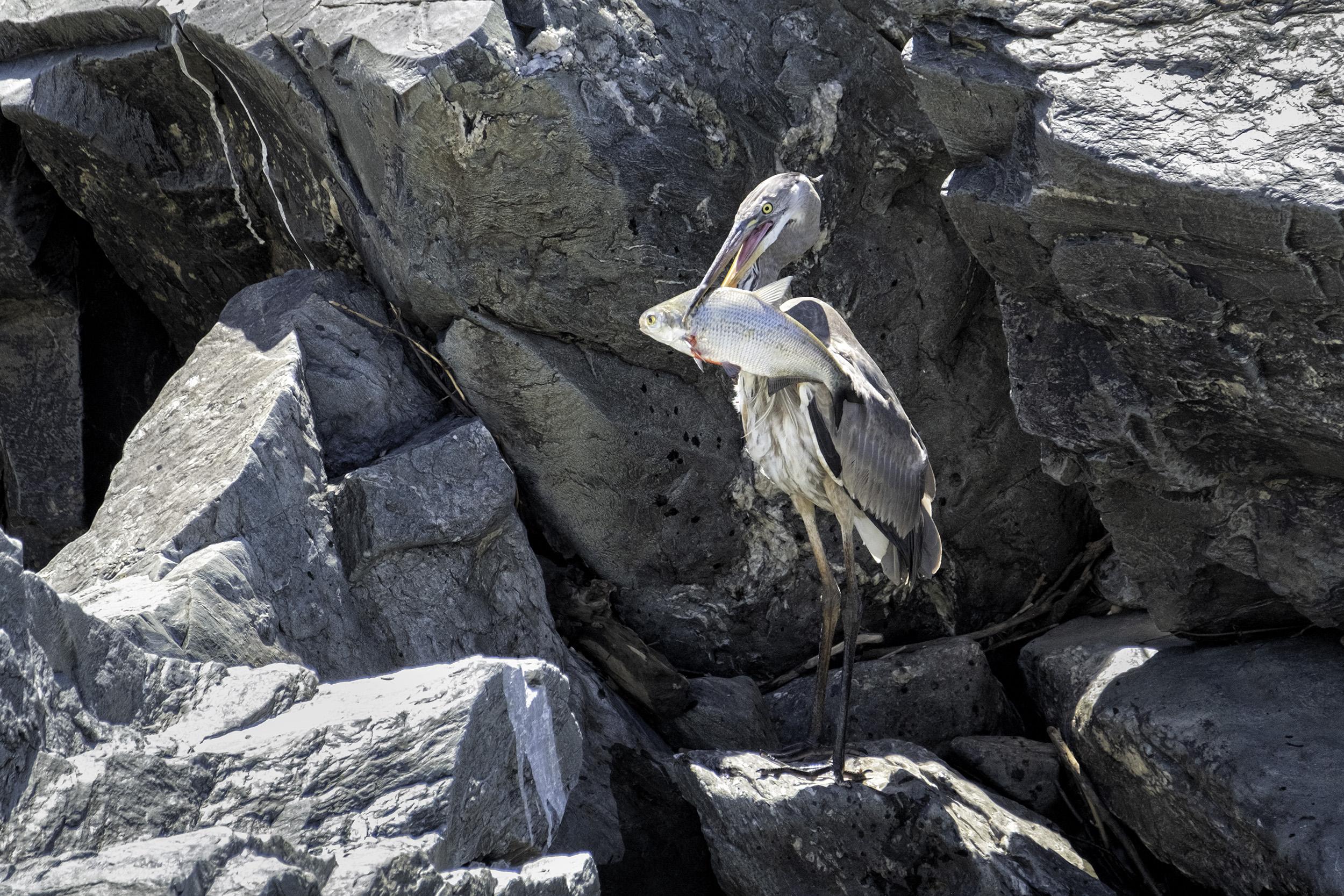 190521 Great Falls Heron 165-1.jpg