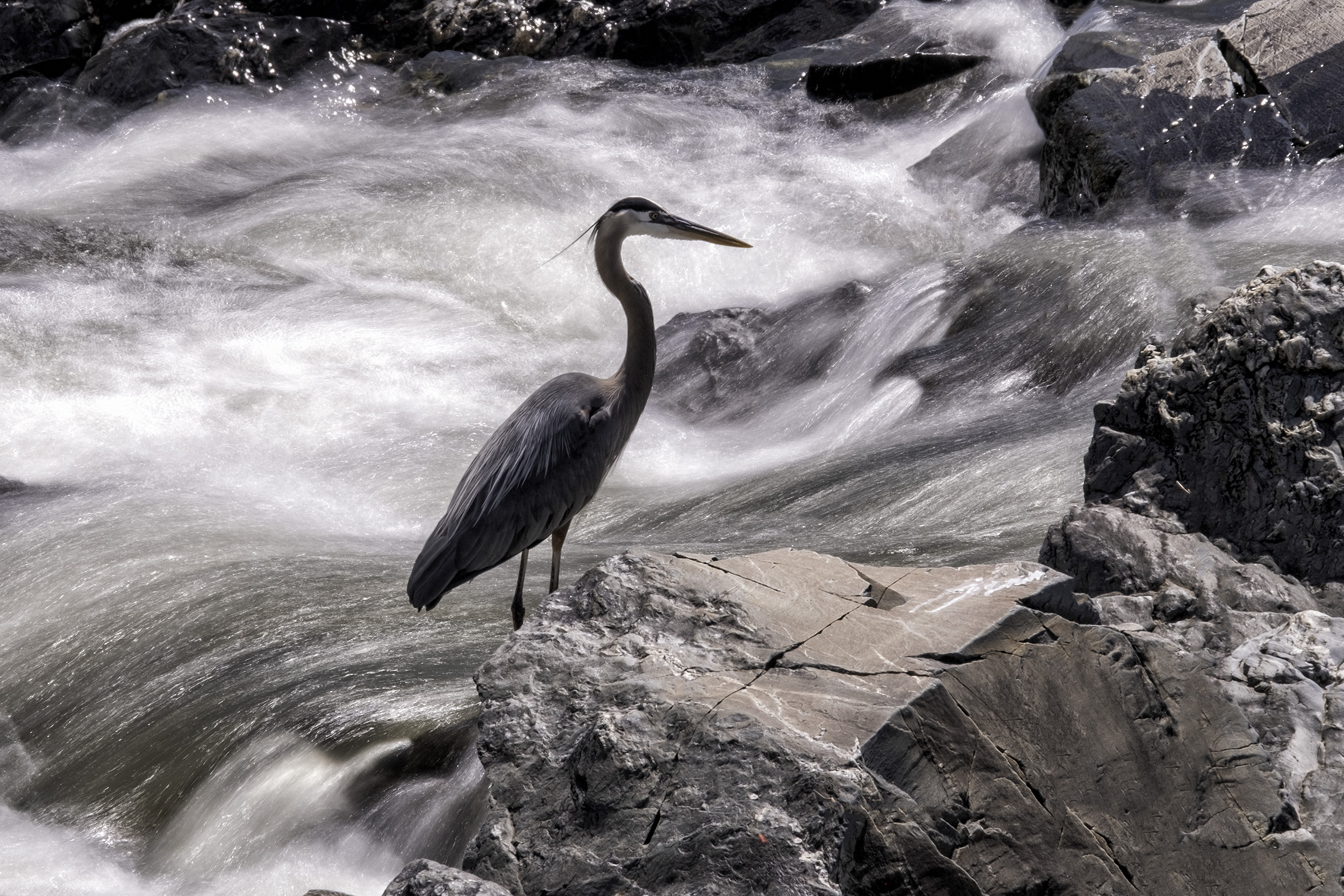 190521 Great Falls Heron 064-1.jpg