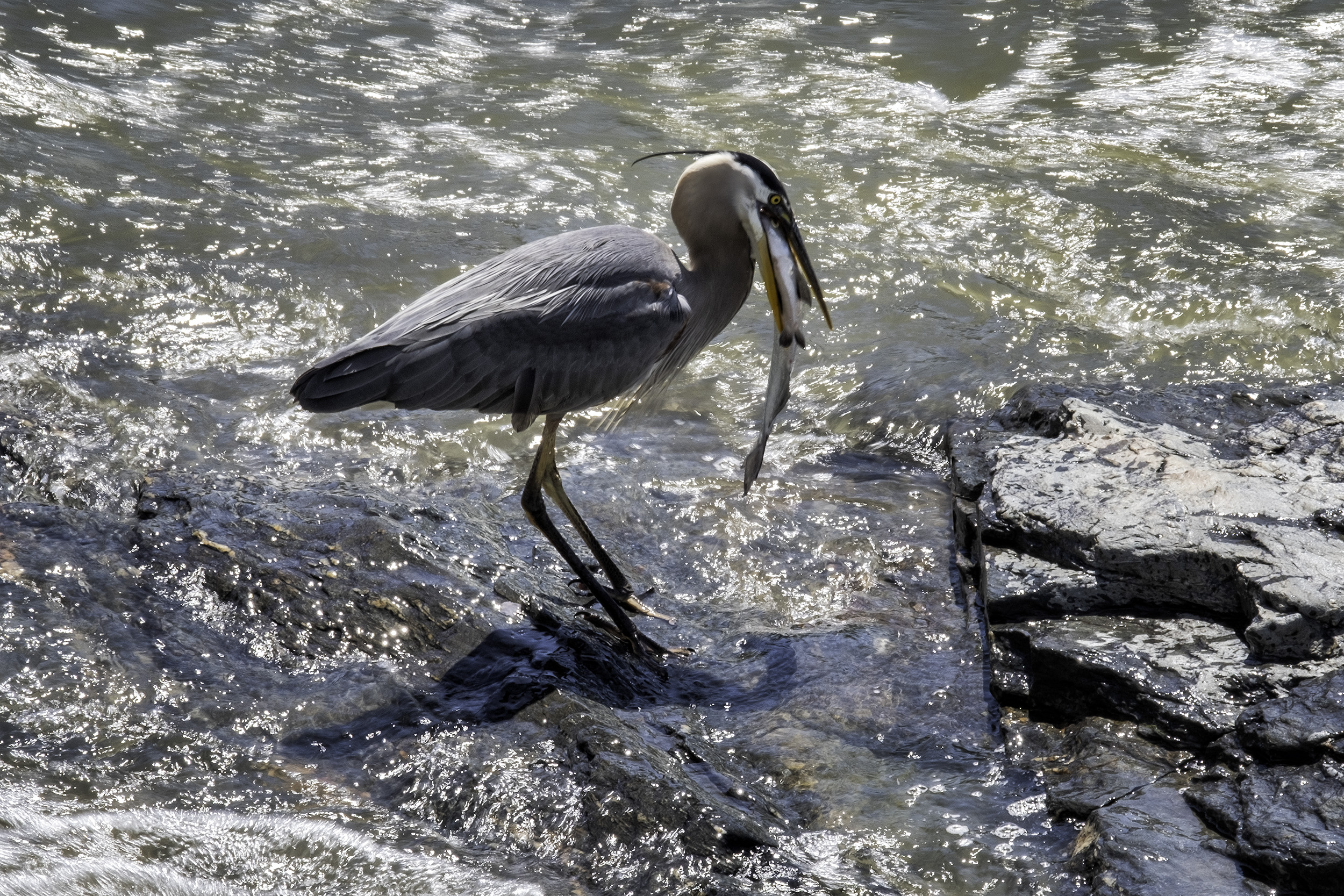 190521 Great Falls Heron 072-1.jpg