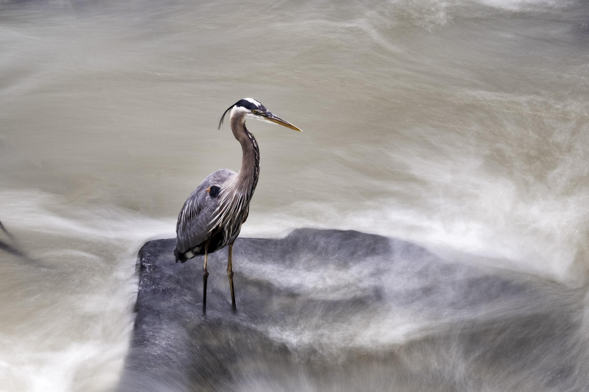 190522 Great Falls Heron 001-1 cr.jpg