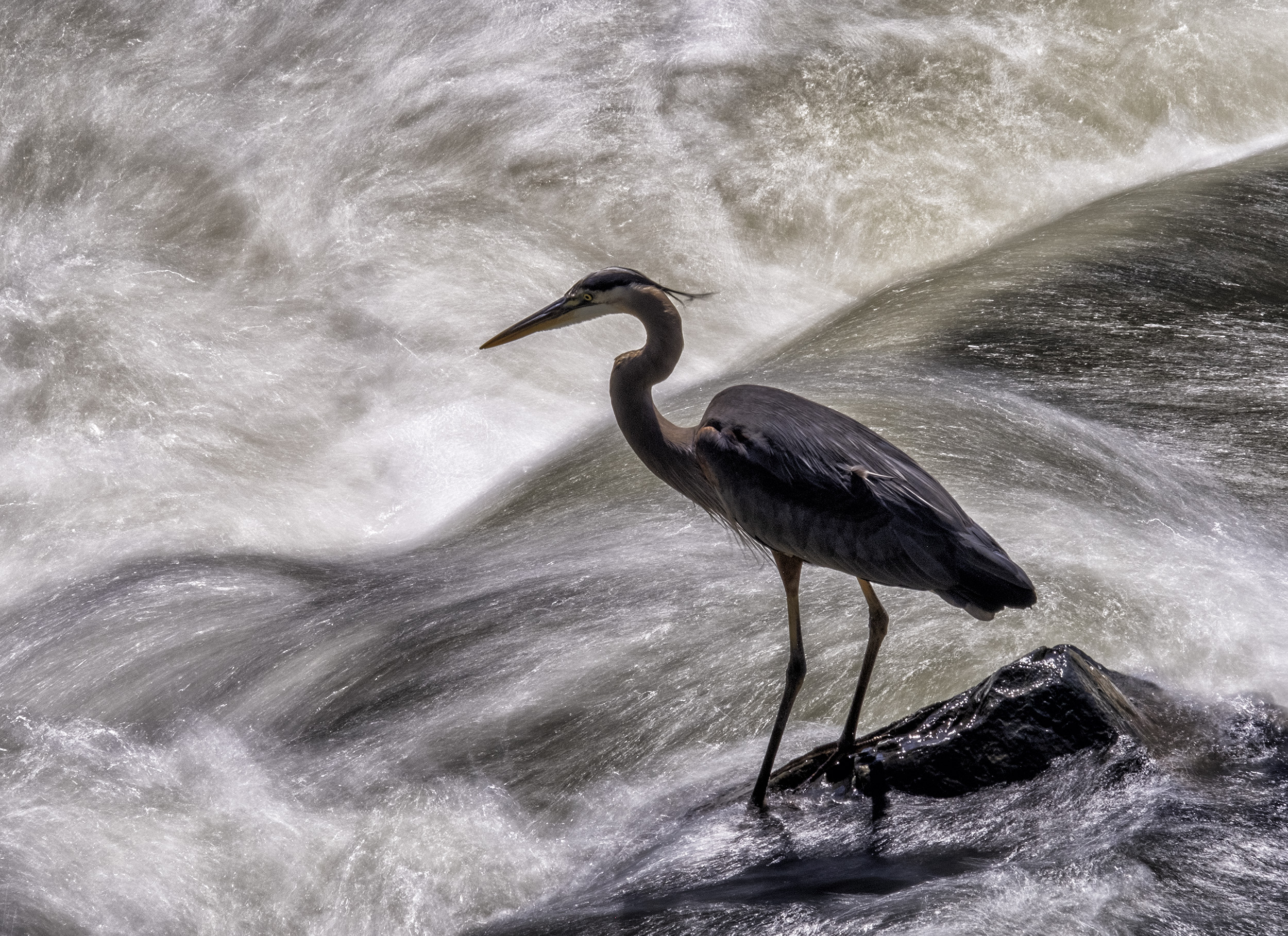 190521 Great Falls Heron 112-1.jpg