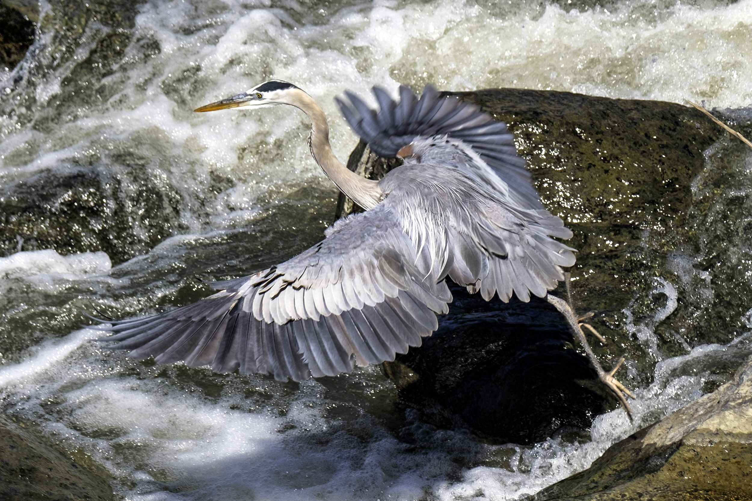 190524 GF Herons 009-1 cr.jpg