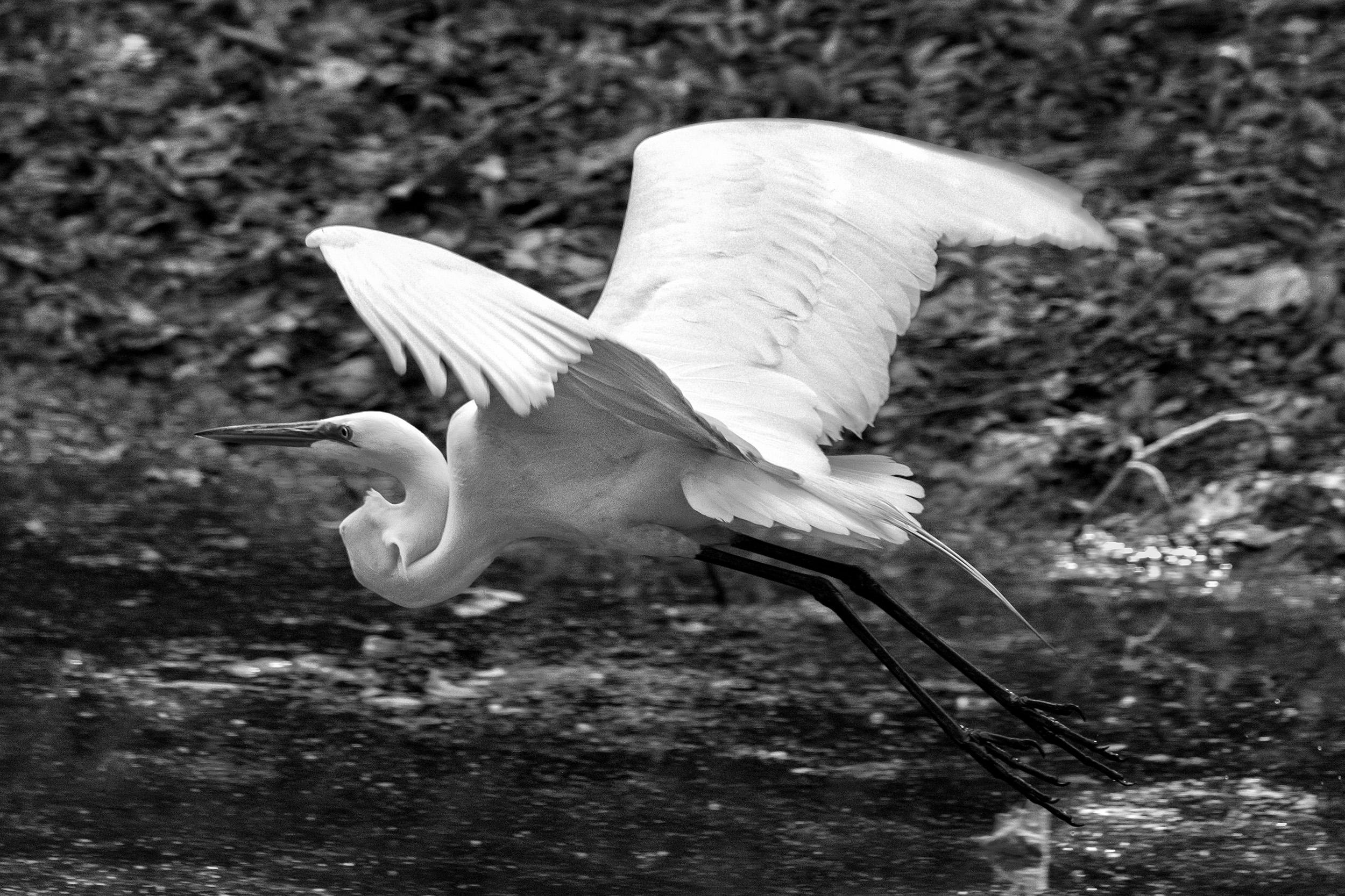 190525 GF Herons 005-1 bw.jpg