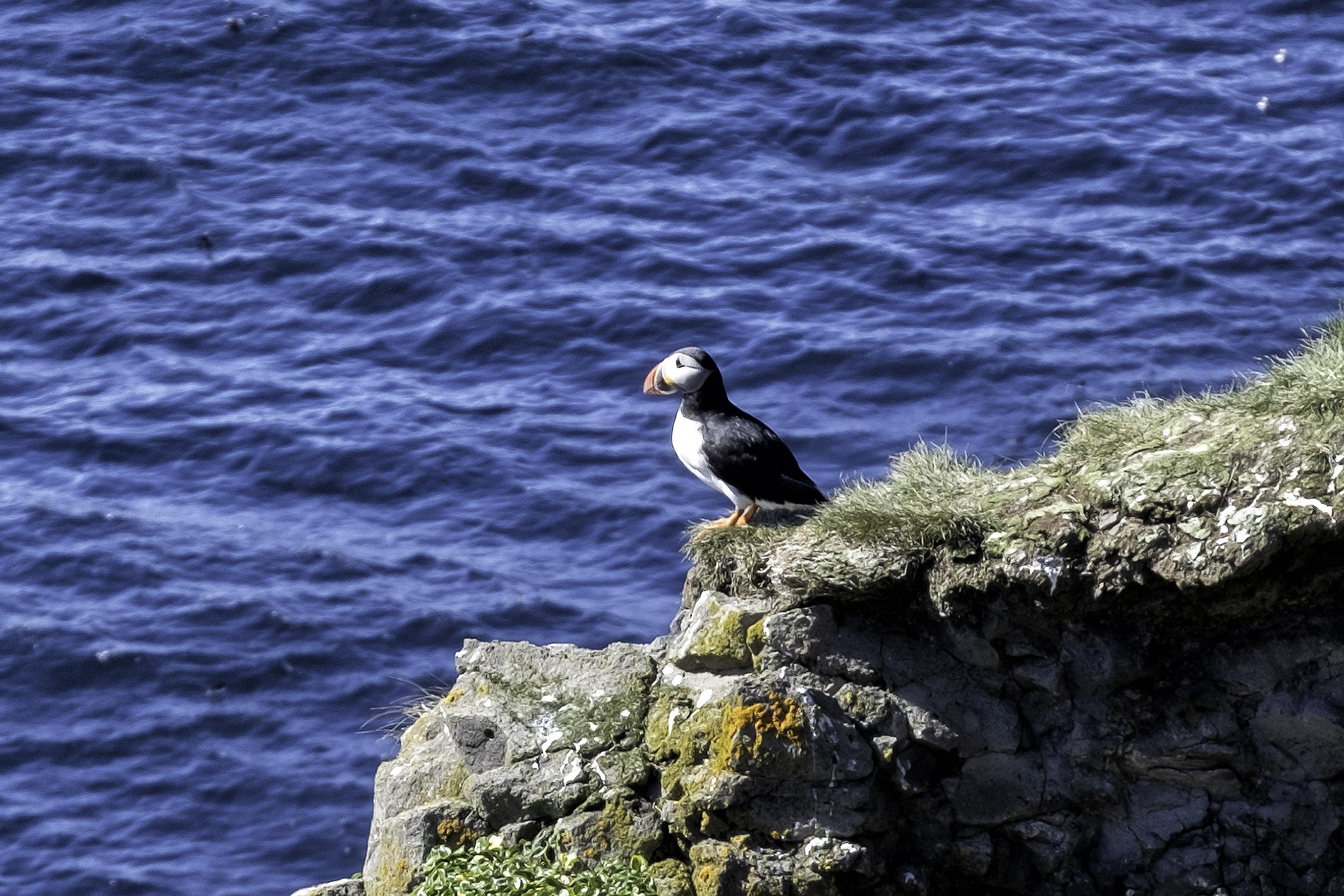 Grimsey Island Puffin