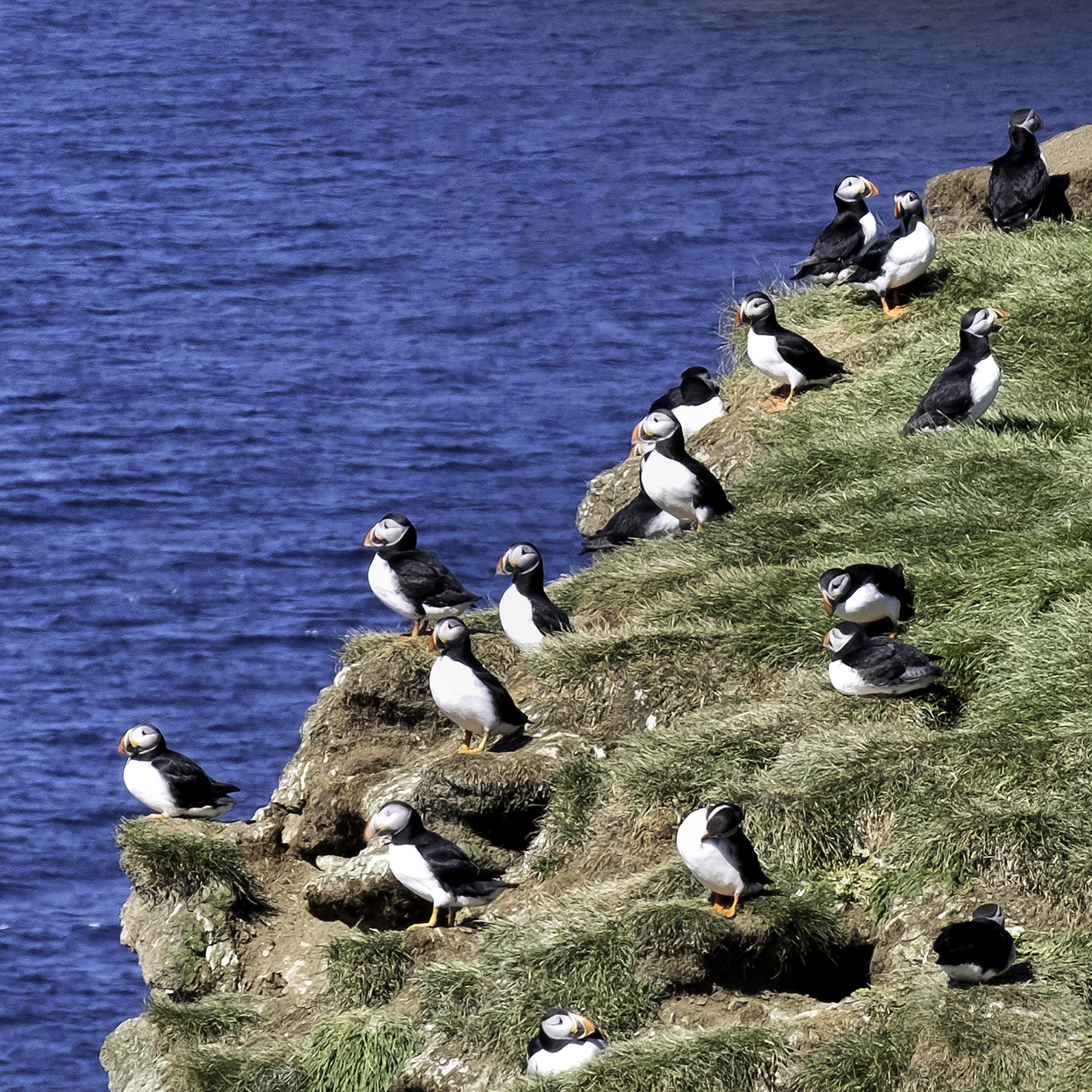 Grimsey Island Puffins
