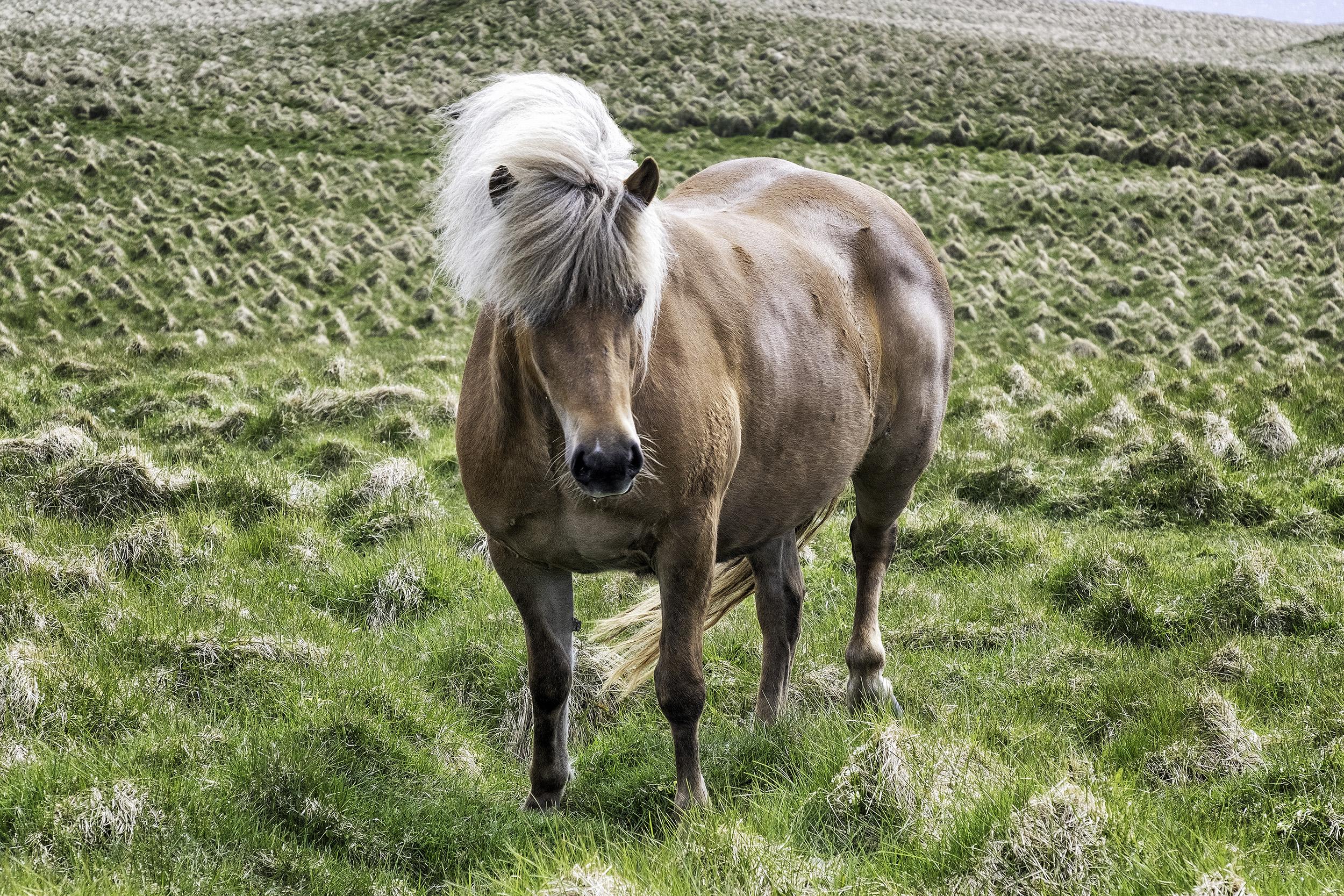 Icelandic Horse, Grimsey Island