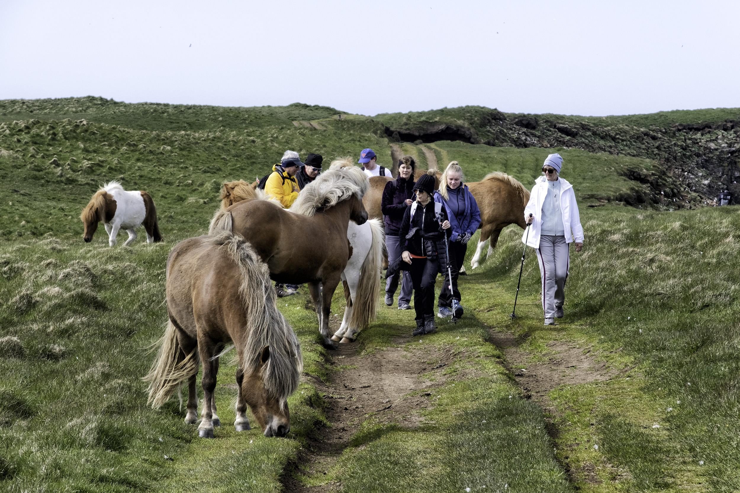 Icelandic Horses, Grimsey Island