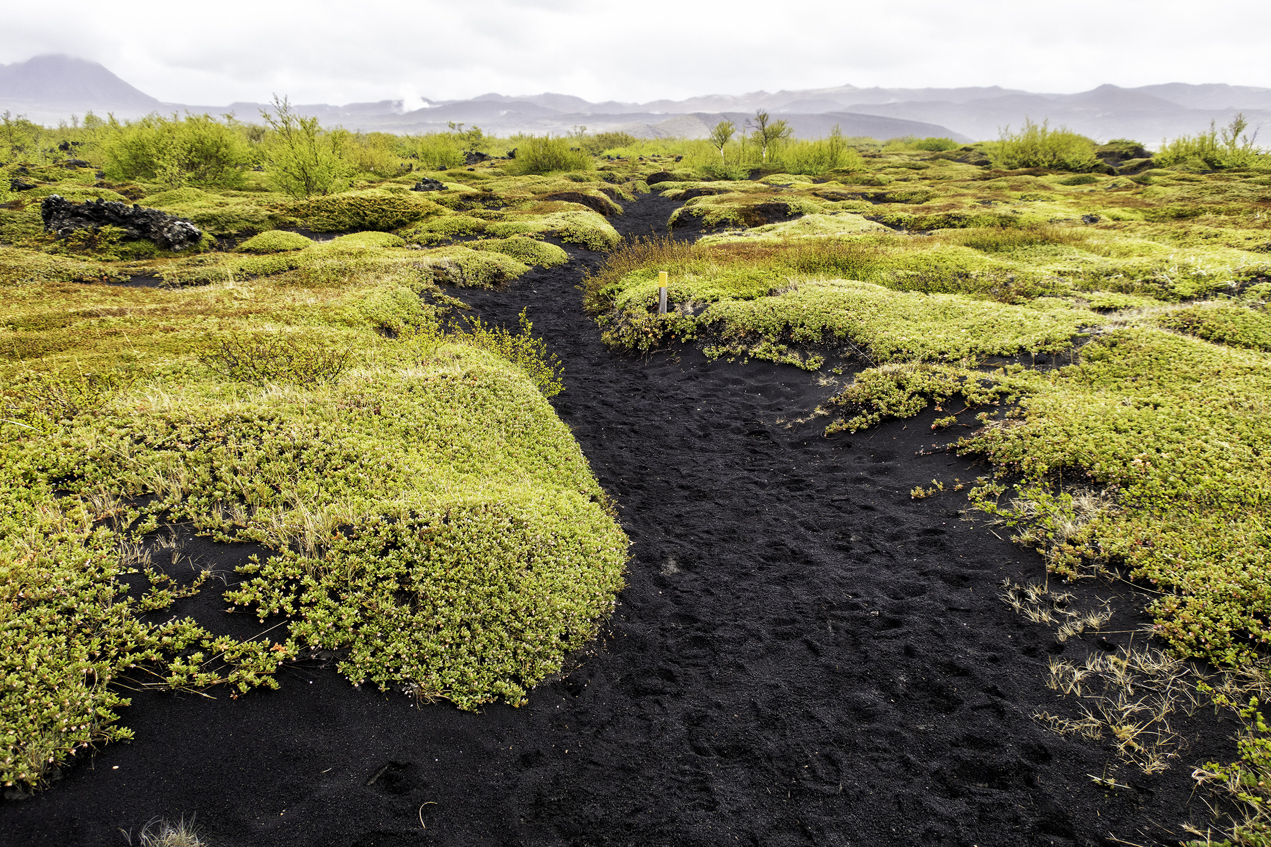 Yellow wildflowers and volcanic sand in Iceland