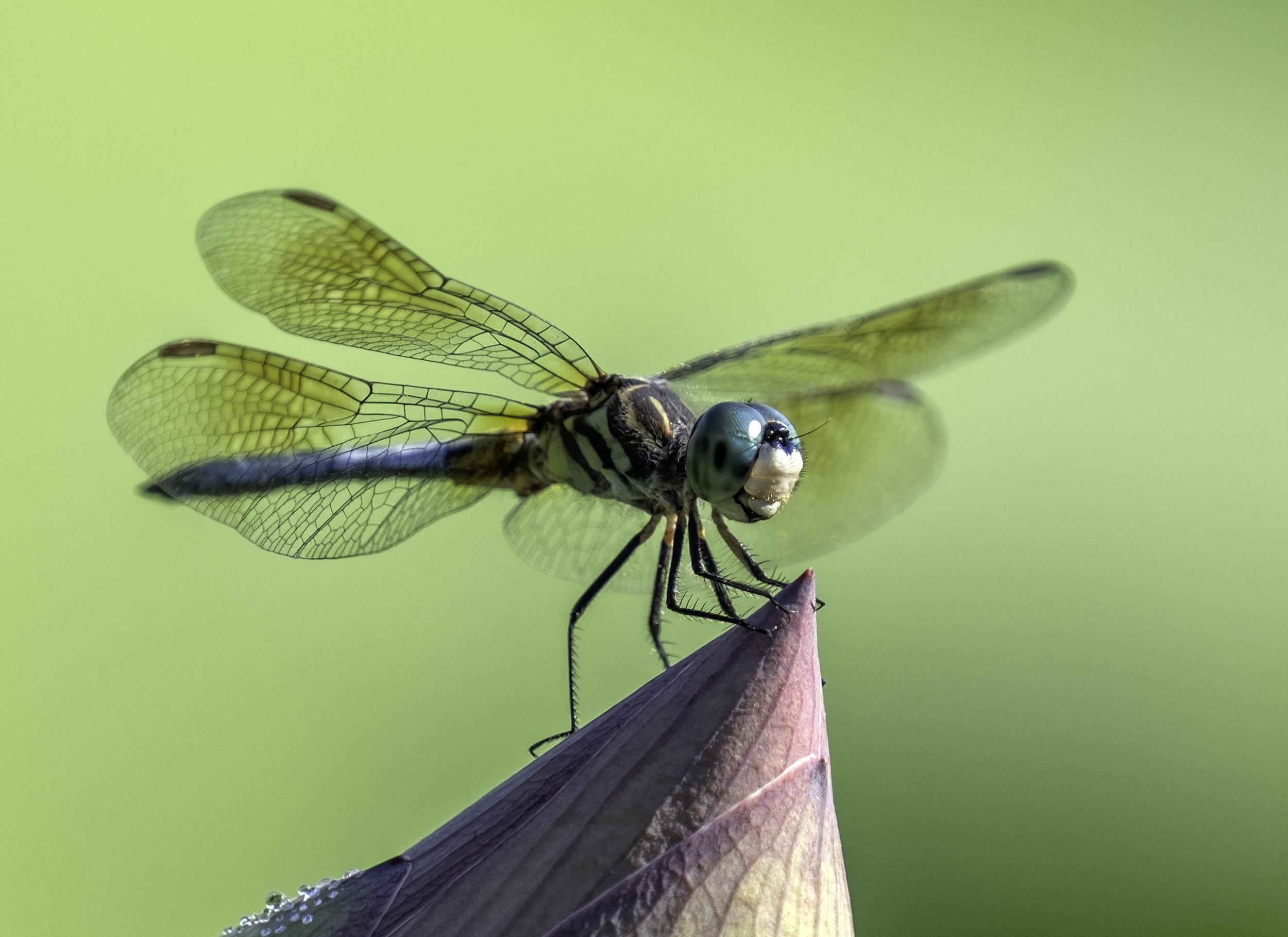 Kenilworth Dragon Fly