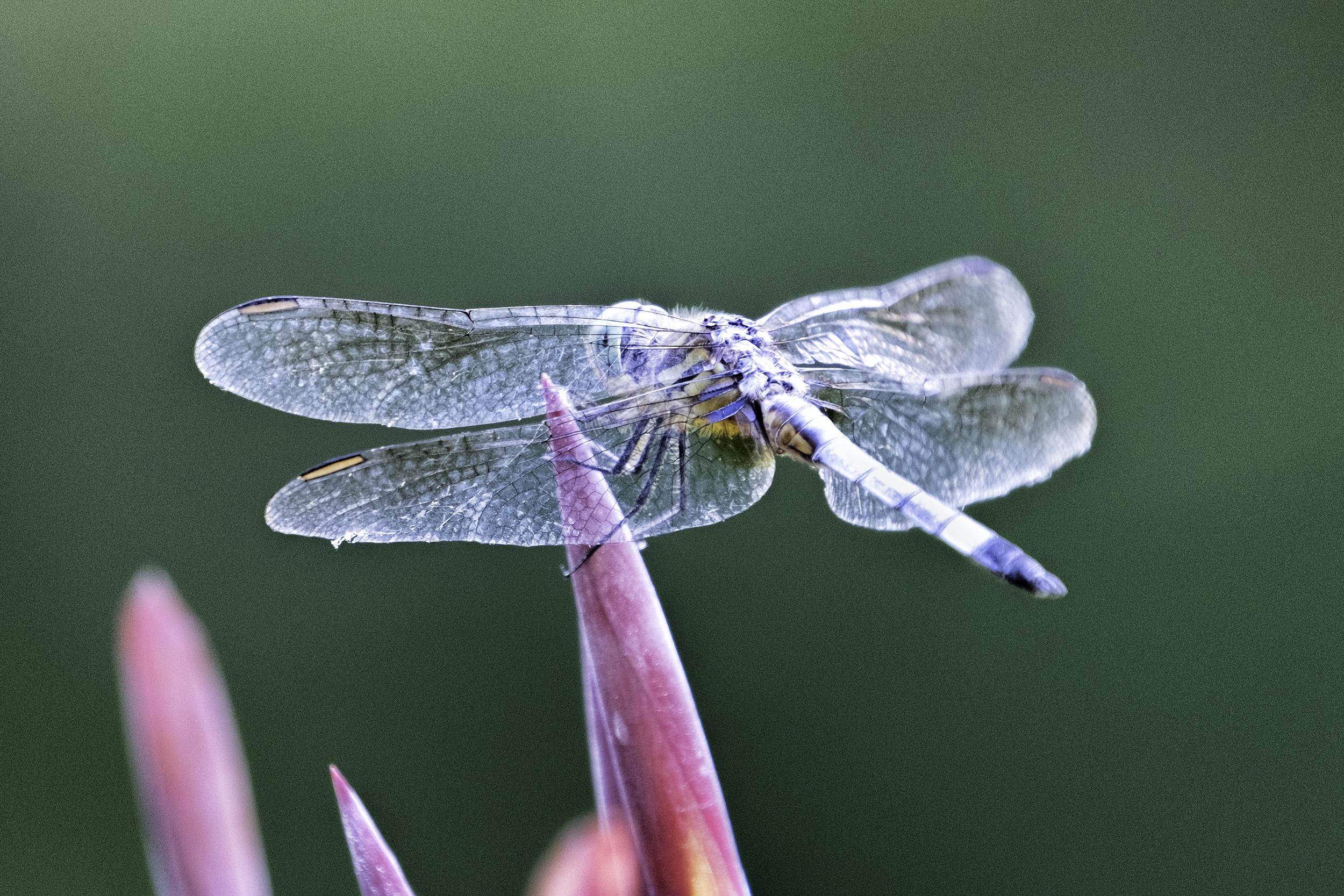 Kenilworth Gardens Dragonfly