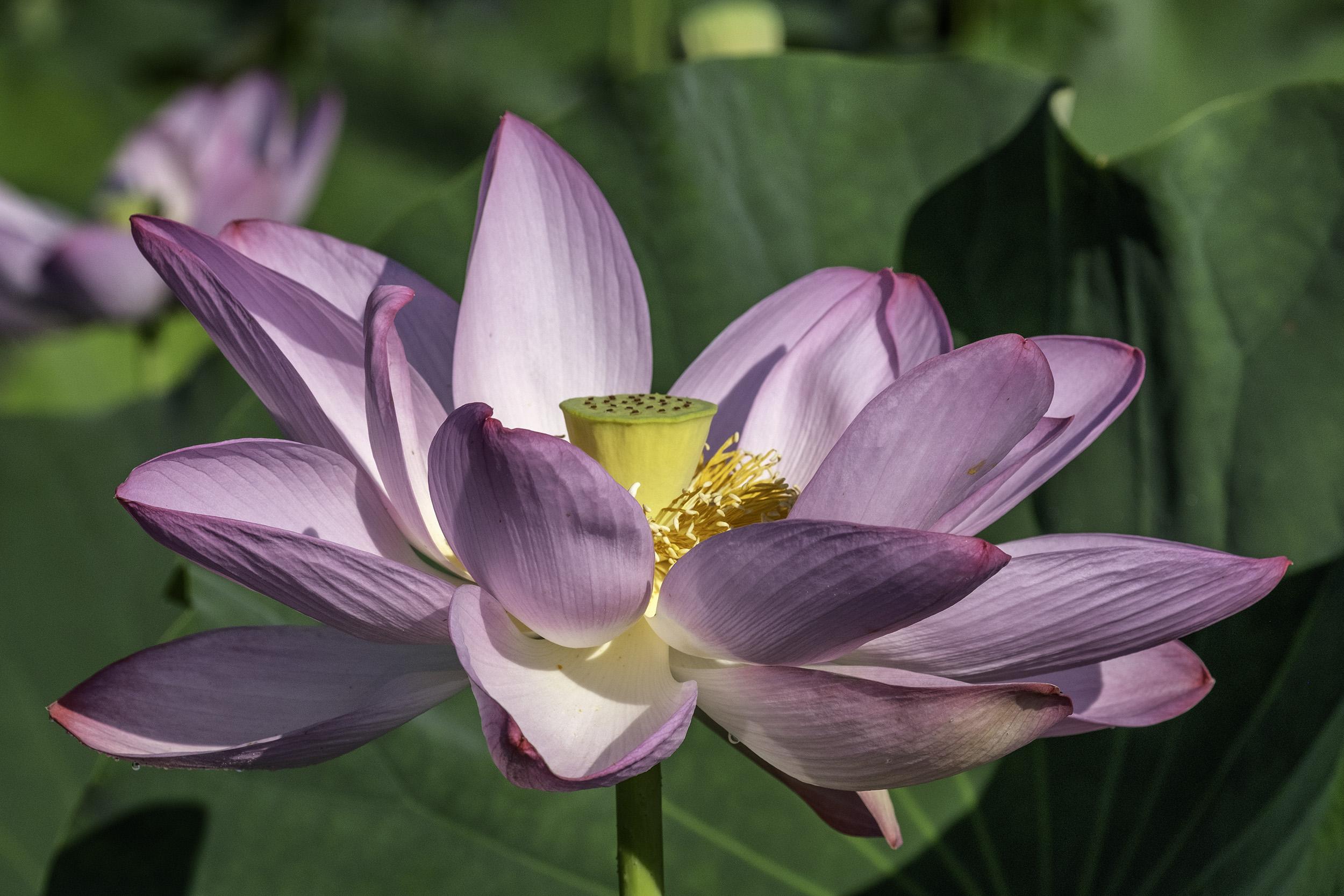 Kenilworth Gardens Lotus