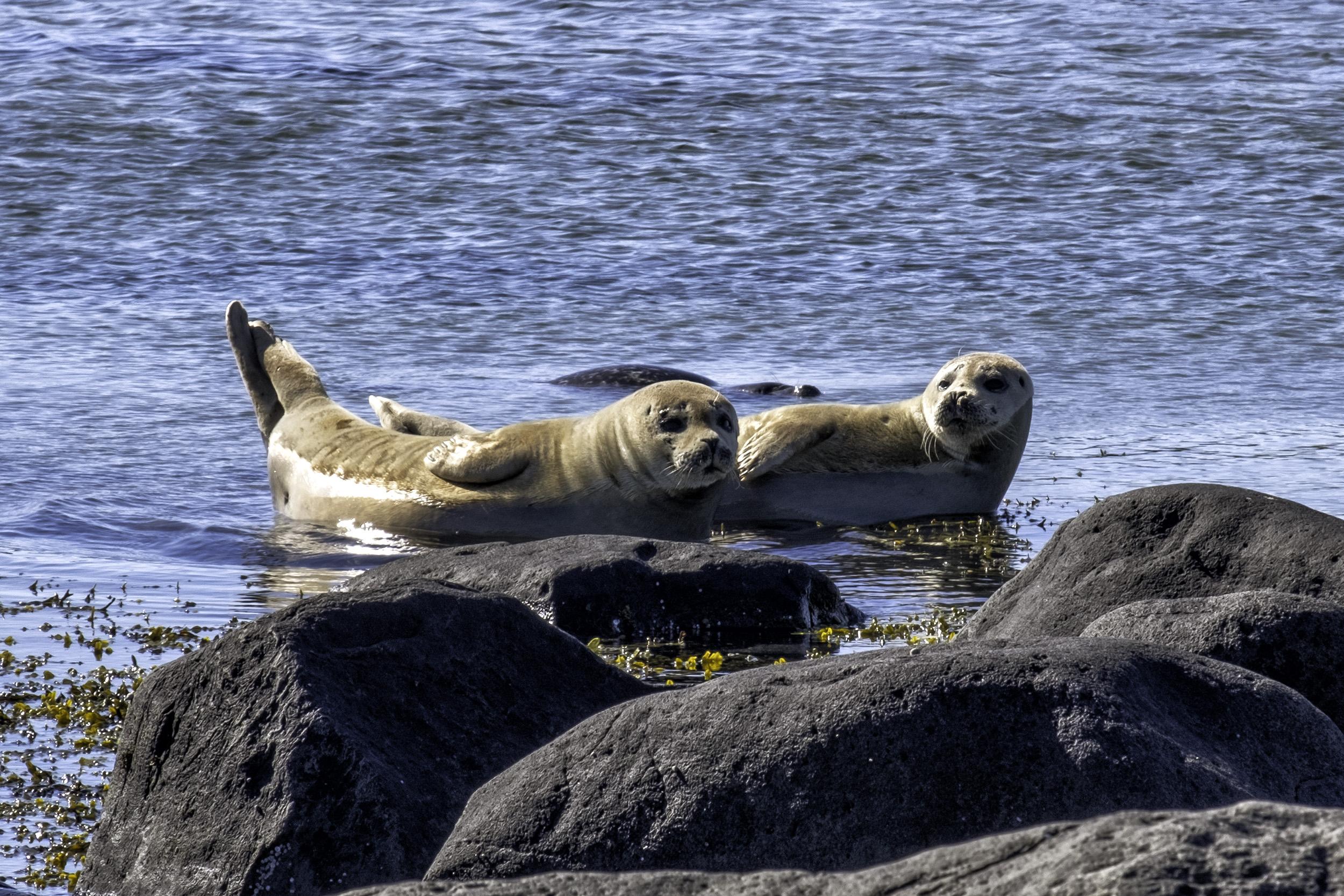 Seals, Ytri Tunga, Iceland