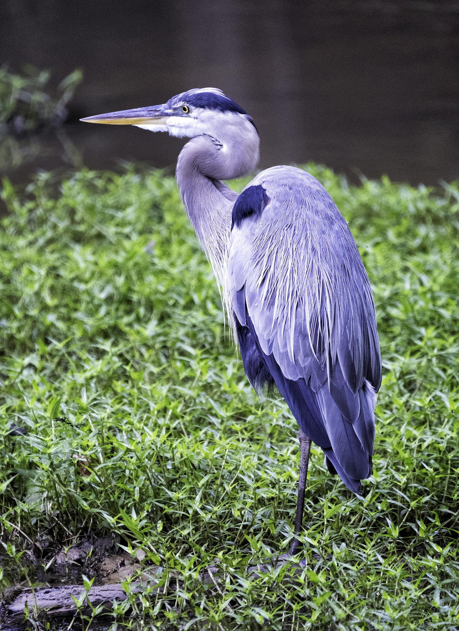 C&O Canal Heron
