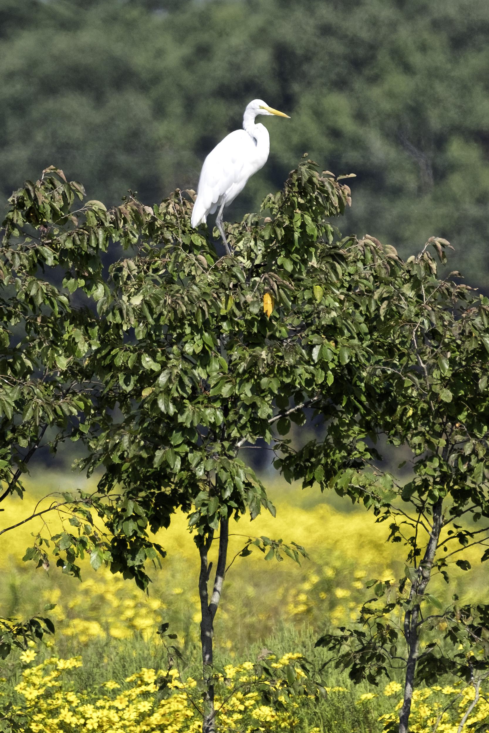 Snowy Egret, BNWR September Morning