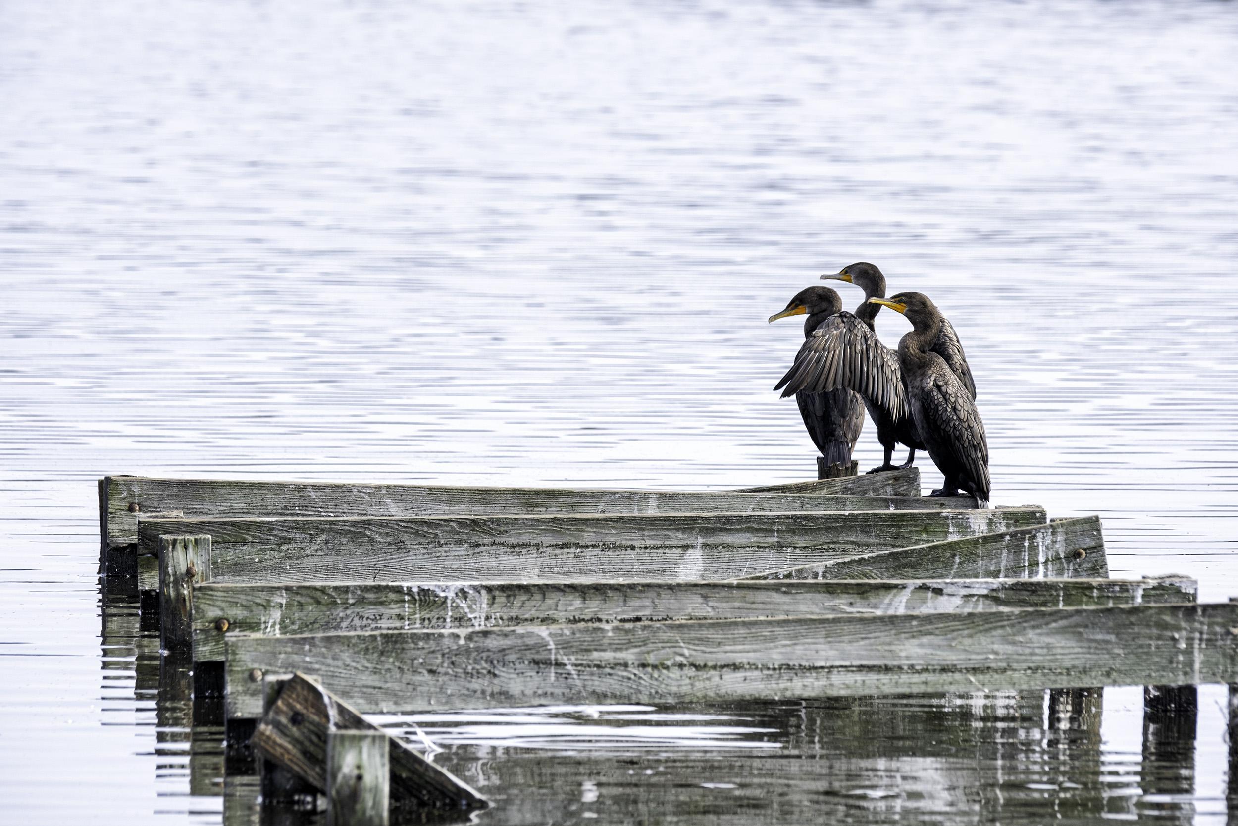 Three Cormorants, BNWR, September Morning