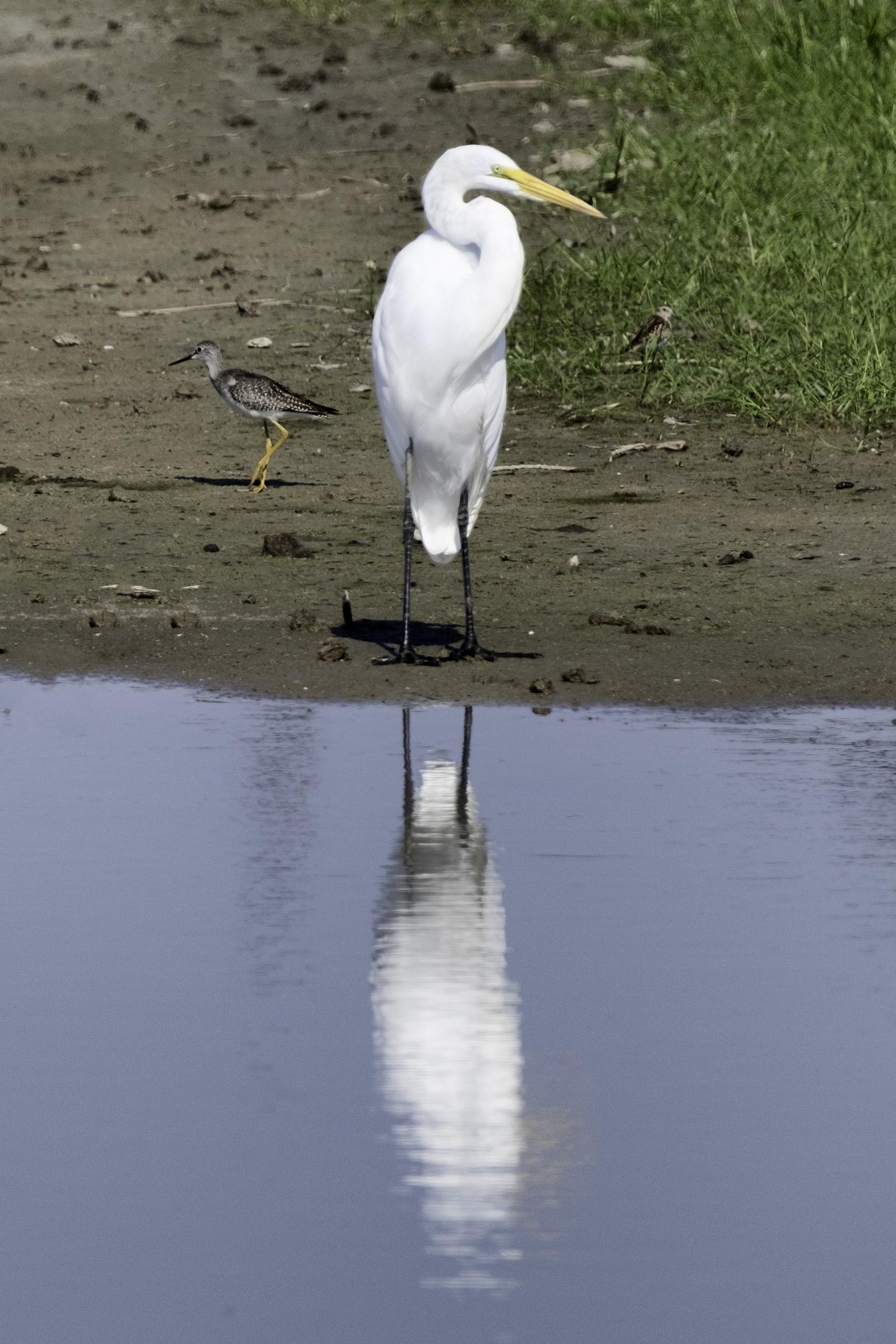 Snowy Egret, BNWR, September Morning