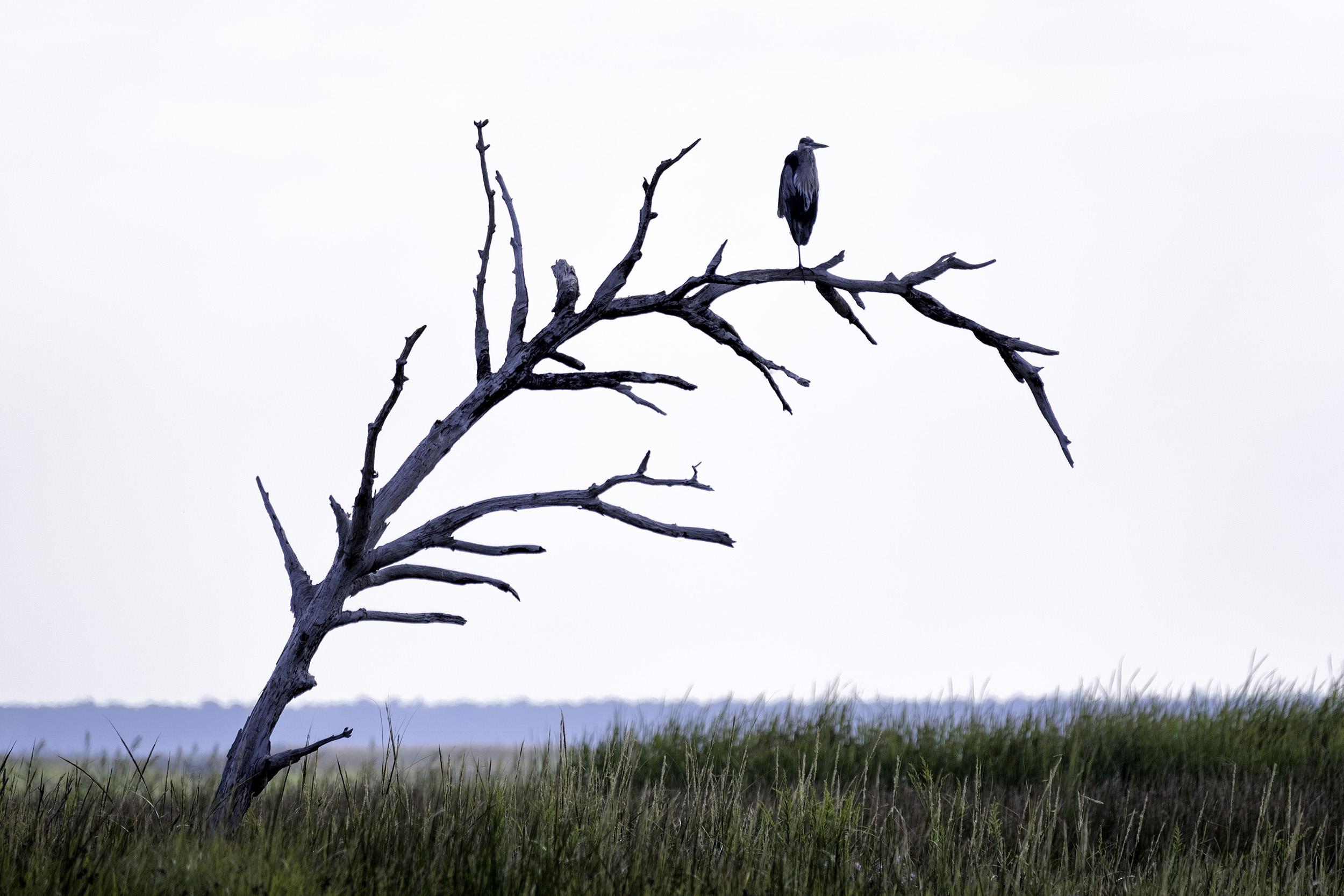 Great Blue Heron, BNWR, September Morning