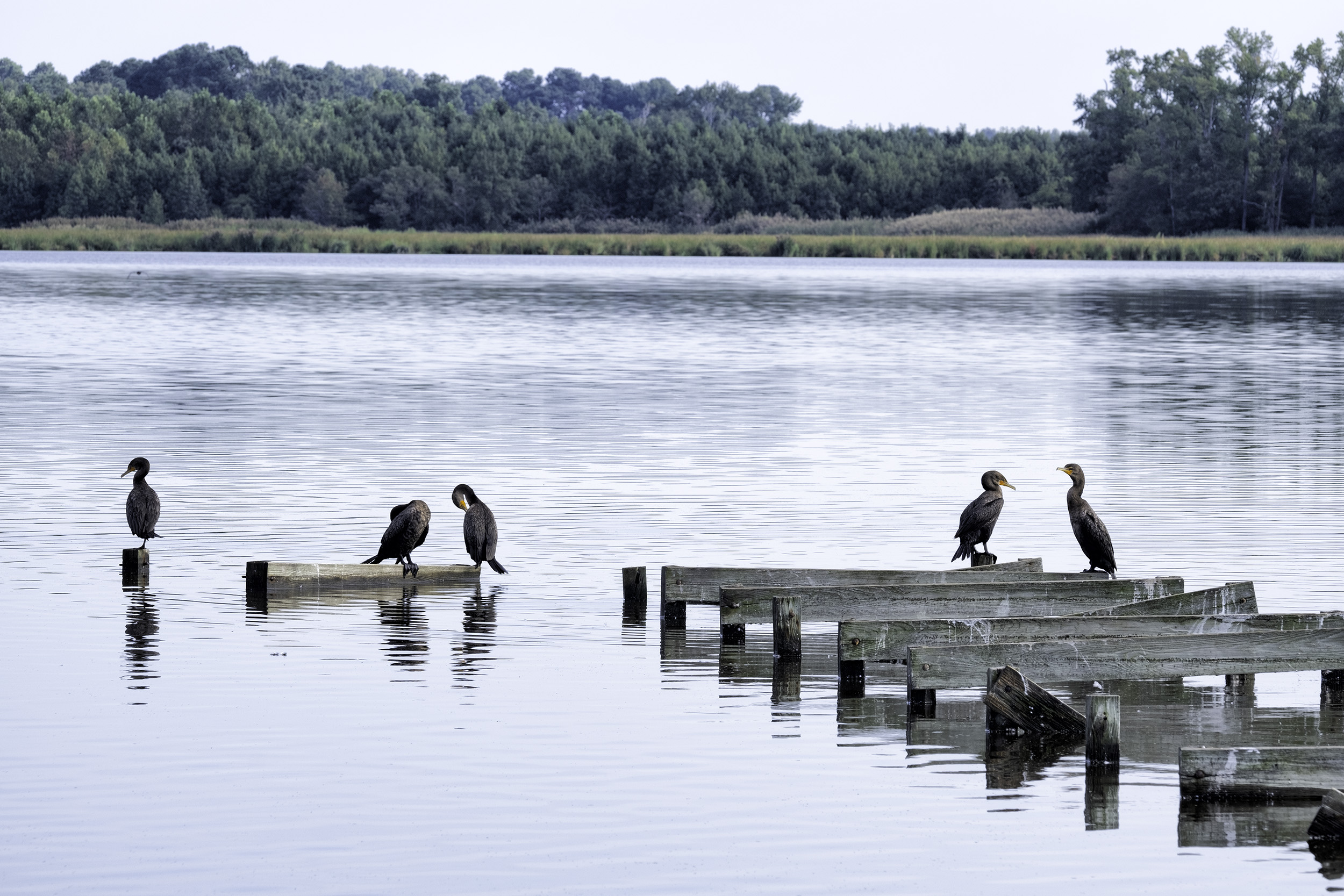 Cormorants, BNWR, September Morning