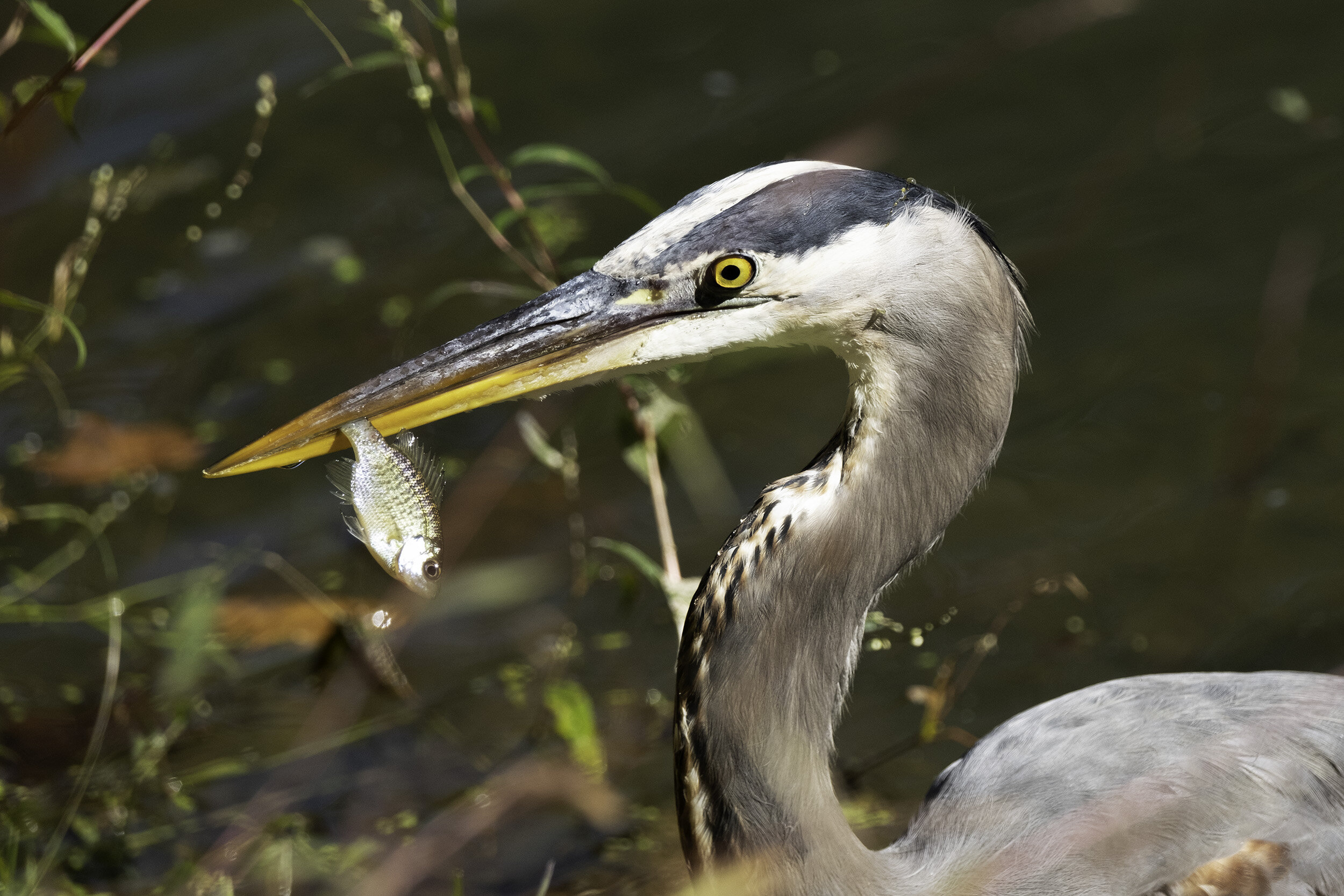 Great Blue Heron, C&O Canal, October Morning