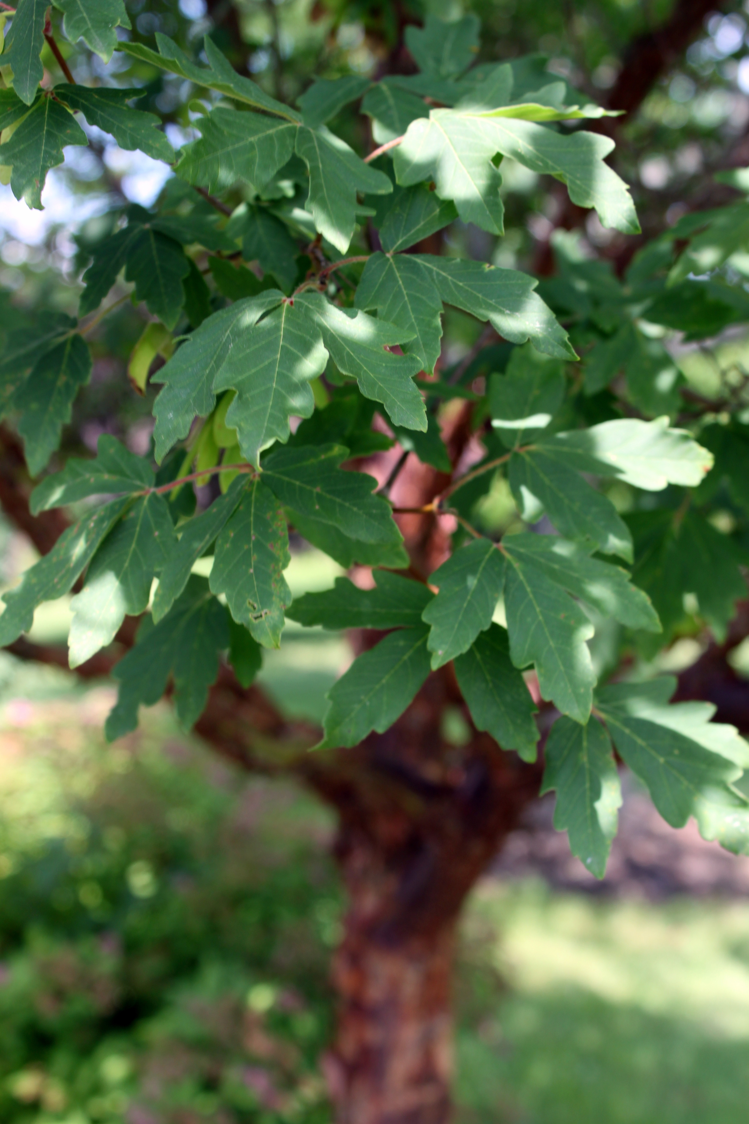 The delicate leaves which resemble the Japanese maple.