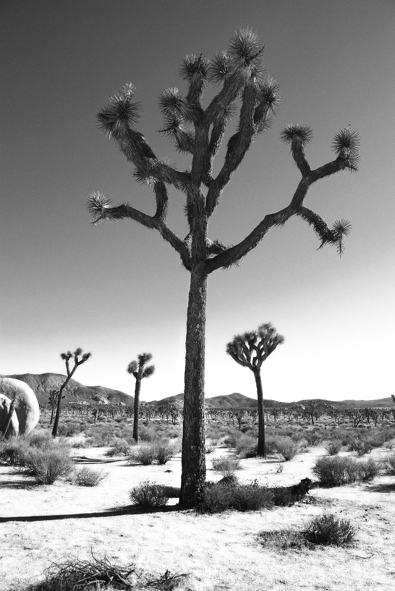 Among the Joshua Trees