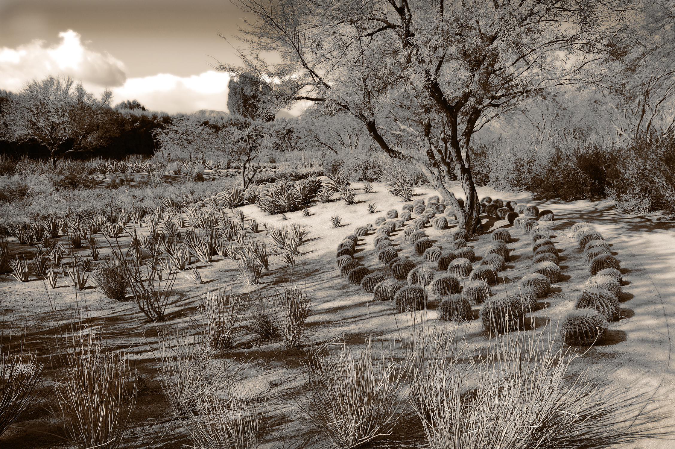 The Dance of the Barrel Cactus