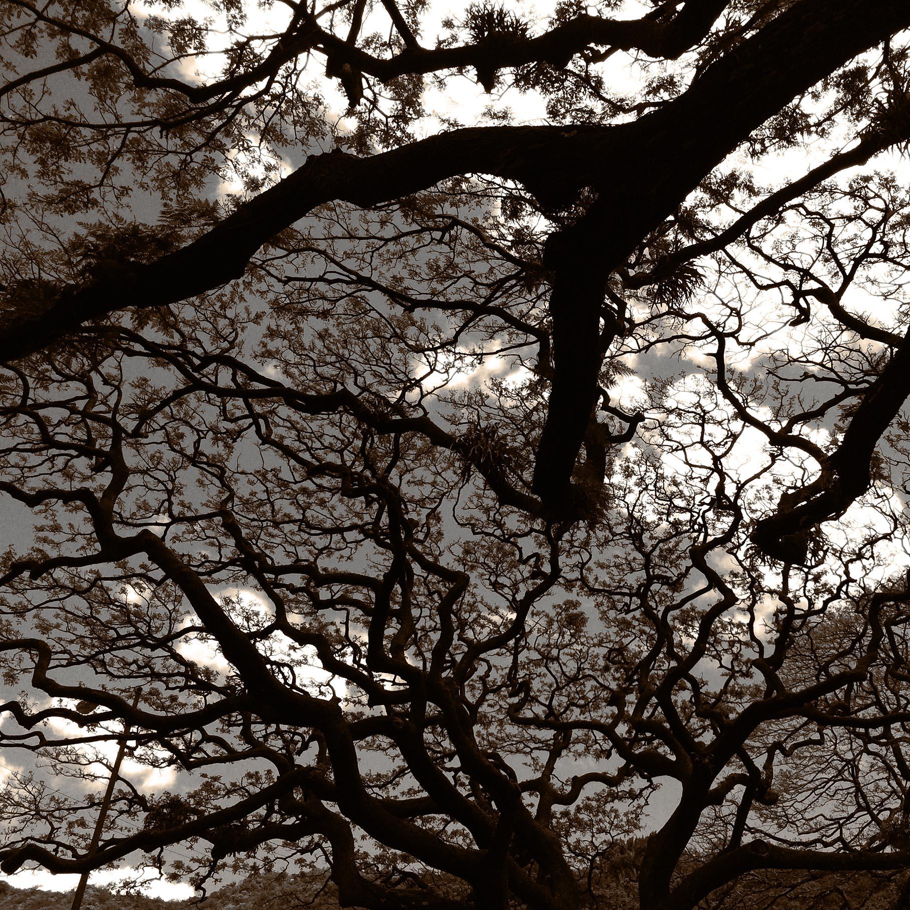 Monkey pod tree in the sky