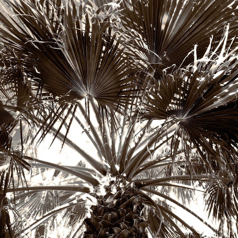 Fan Palms in the sky
