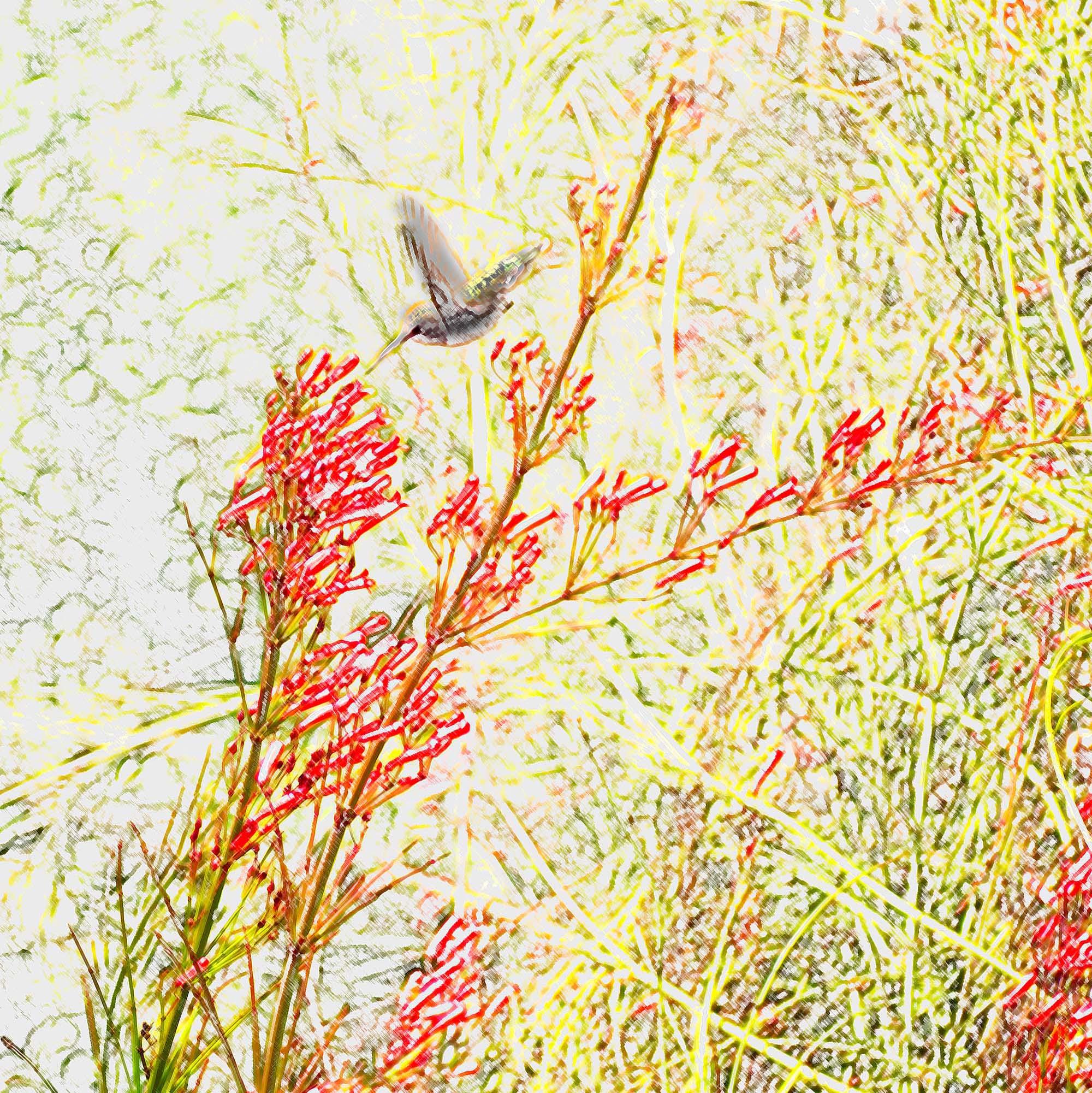 Humming bird on Firecracker
