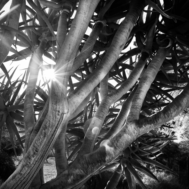 Kokerboom tree in the sky 24x24 WEBSITE.jpg