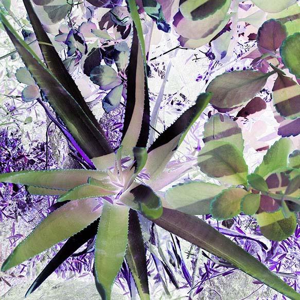 purple agave garden 20X20 website.jpg