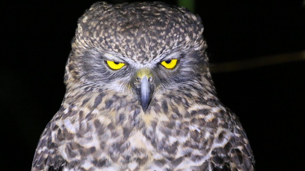 powerful owl 2.jpg