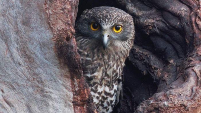 powerful owl 3.jpg