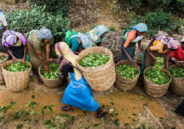 Tea Plantation Sir Lanka
