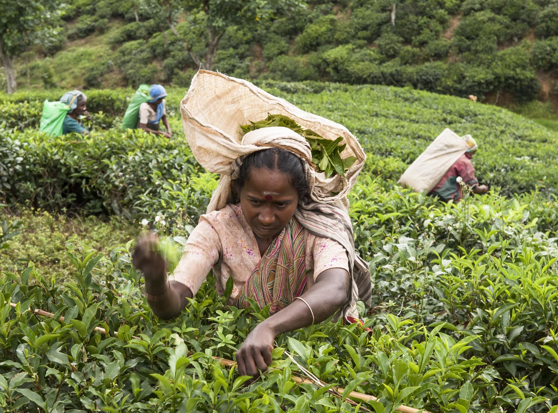 Tea Worker Sri Lanka